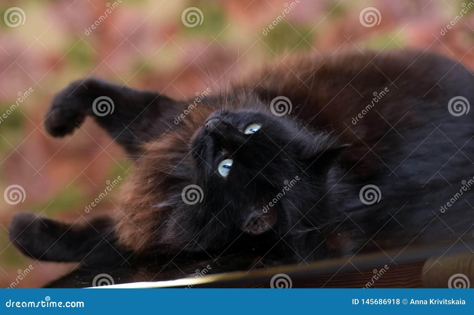 Le beau chat noir pelucheux se trouve sur une table en verre