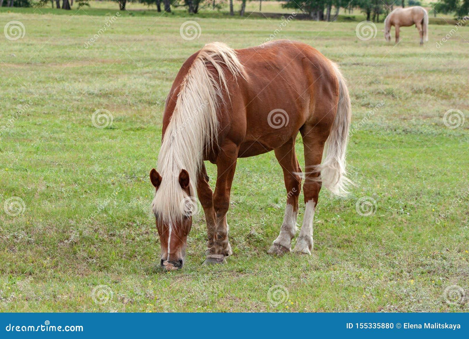 Le beau cheval brun avec une crinière et une queue blanches sur un pâturage grignote herbe verte fraîche Ranch, été