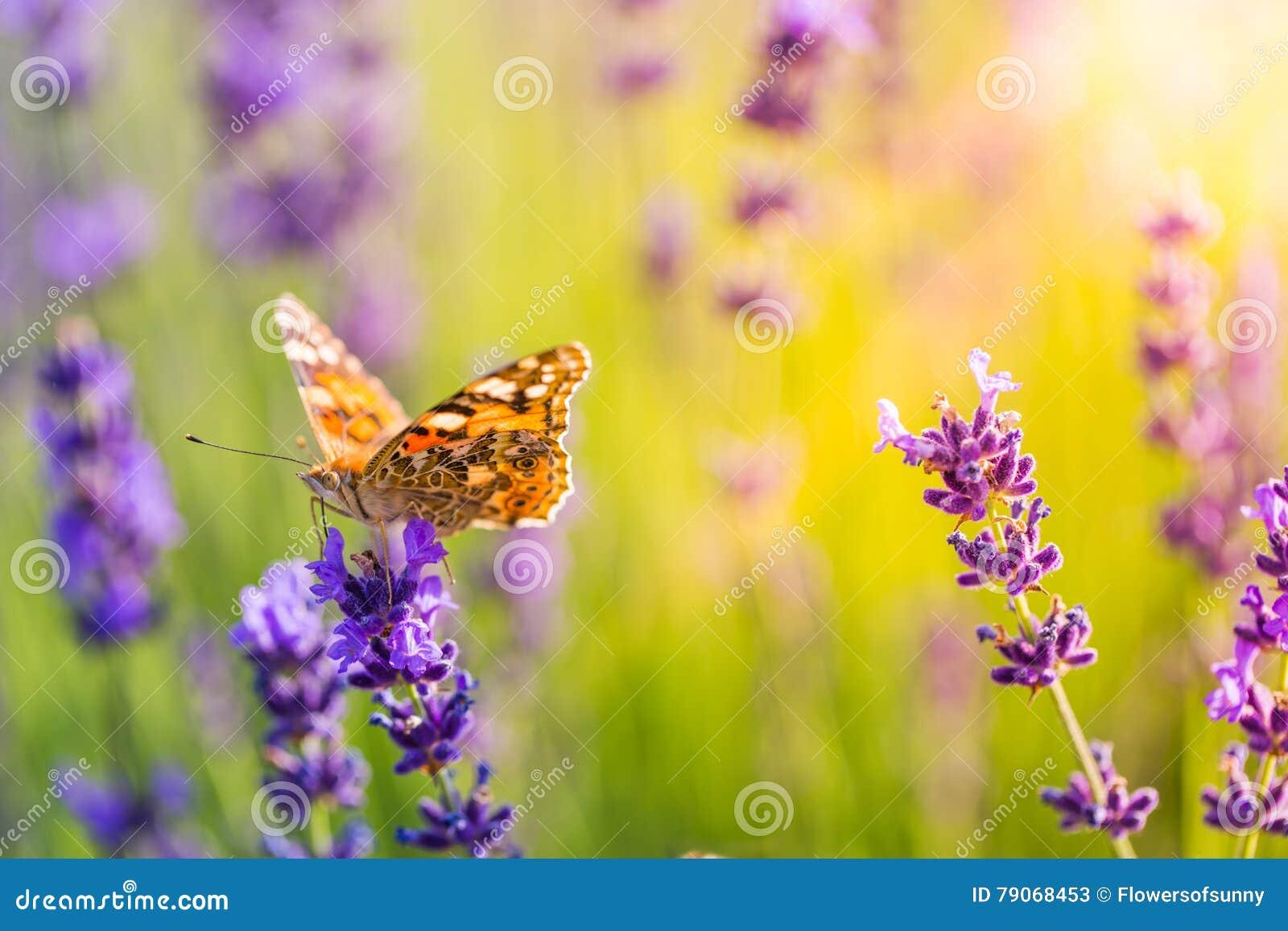 Le beau pré d été de papillon fleurit, paysage coloré de lavande