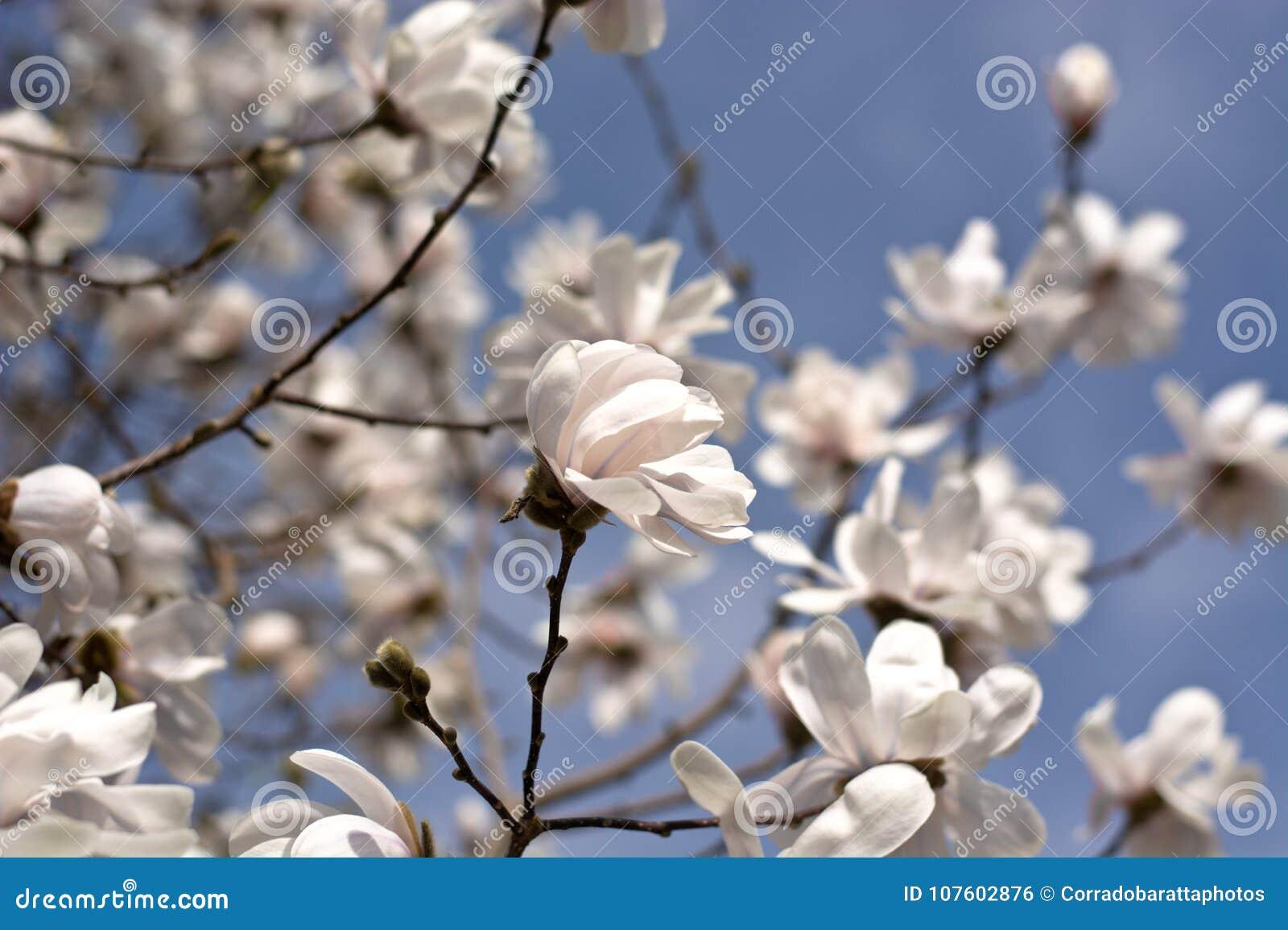 Le beau ressort sur les arbres de floraison