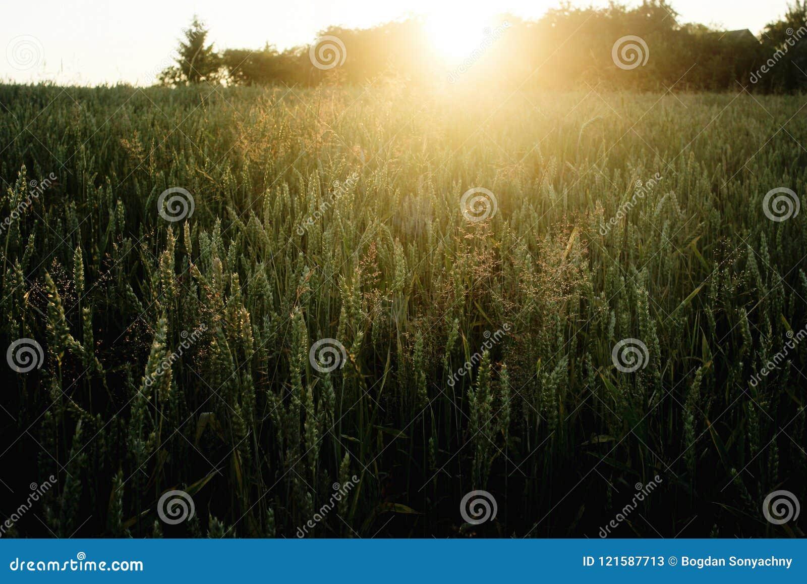 Le beau soleil rayonne au champ de blé de seigle, le moment étonnant i de soleil