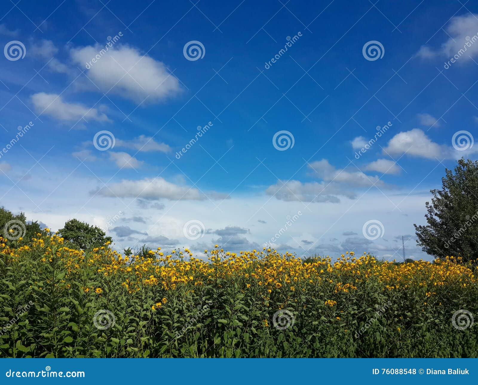 Le beau topinambour jaune fleurit et ciel bleu