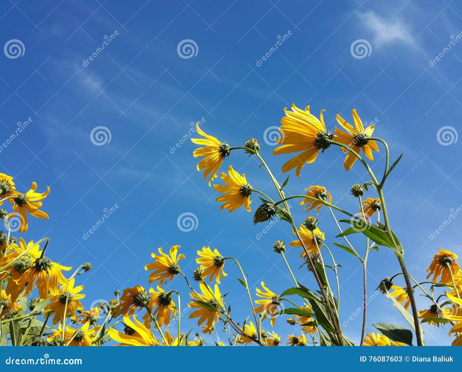 Le beau topinambour jaune fleurit et ciel nuageux bleu