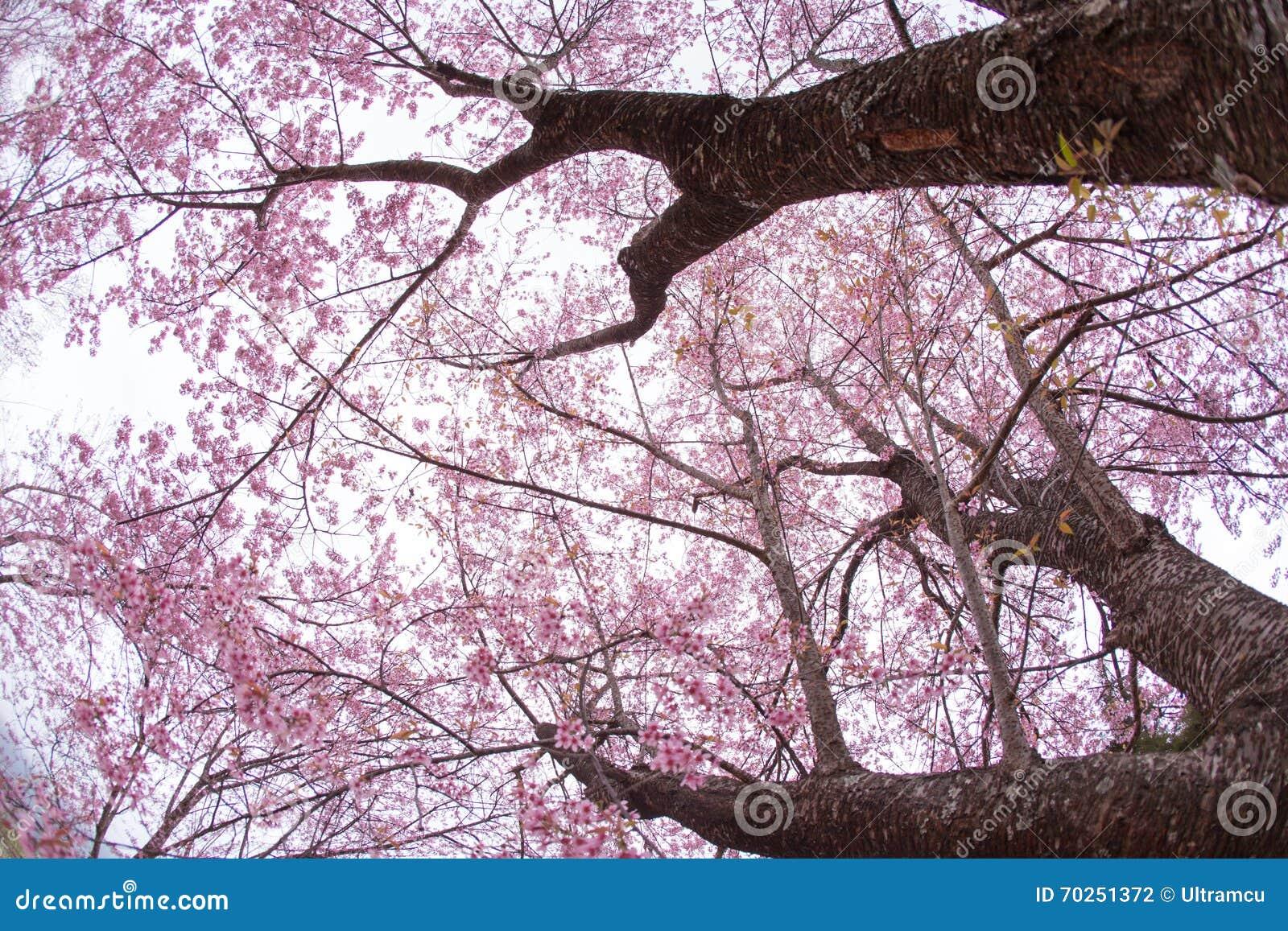Le bel arbre rose de sakura photo stock image du japonais north 70251372 - Arbre japonais rose ...