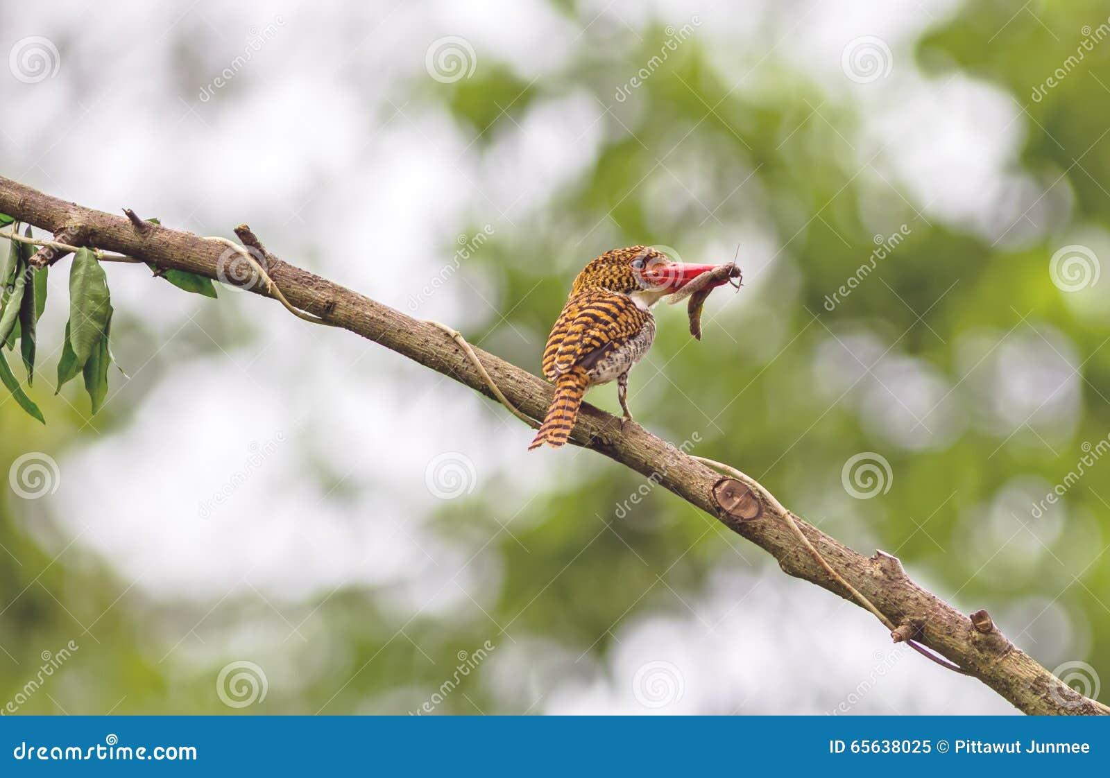 Le bel oiseau, femelle a réuni le martin-pêcheur et le petit Skink avec b