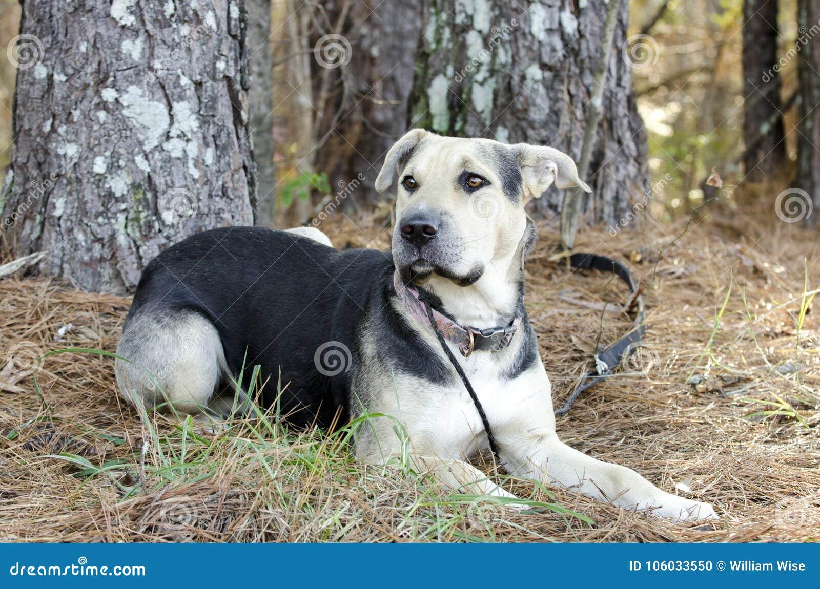 Le berger allemand Dog et le Chinois Shar Pei ont mélangé le chien de race