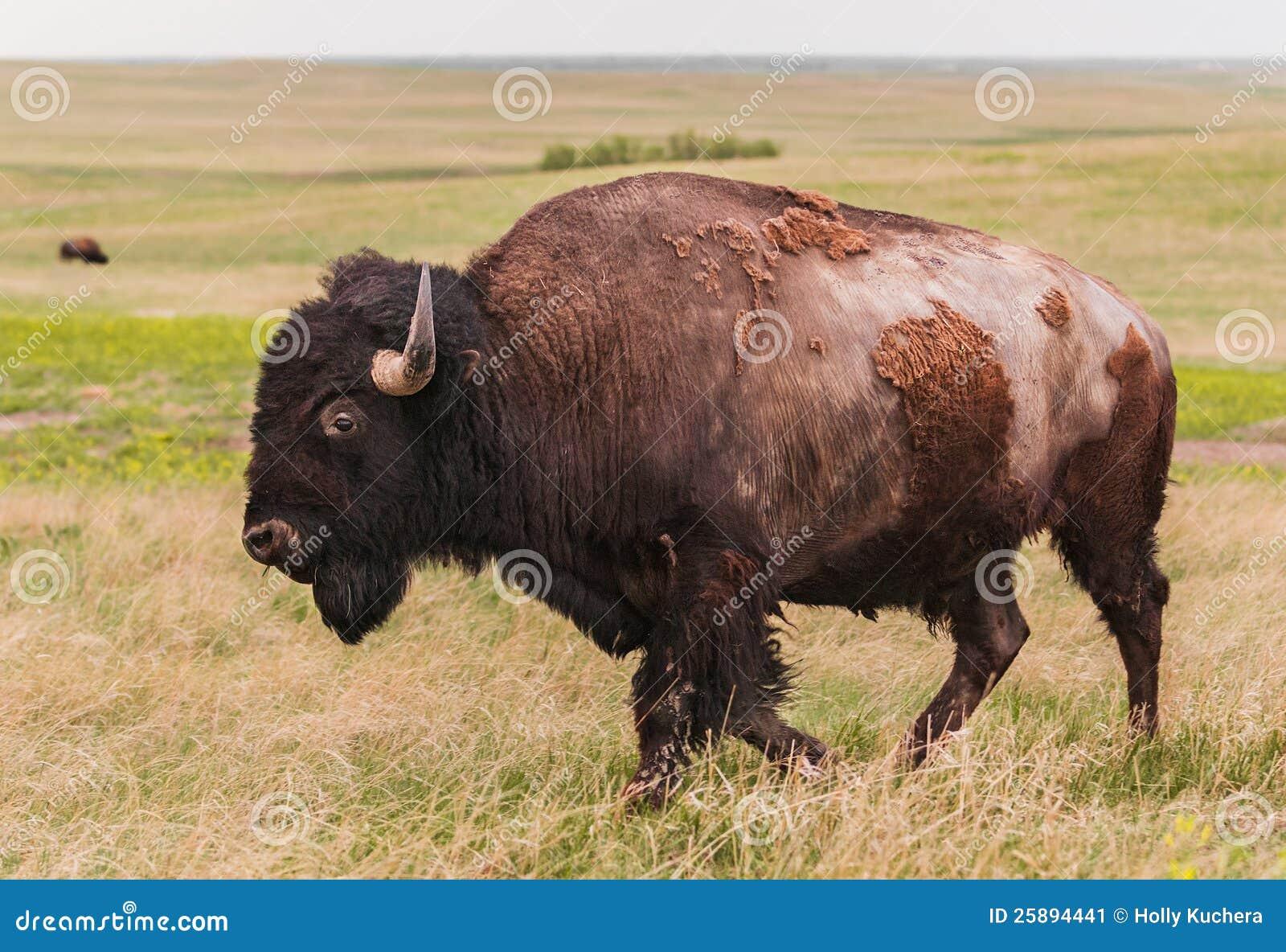 Le bison américain Bull (bison de bison) marche près