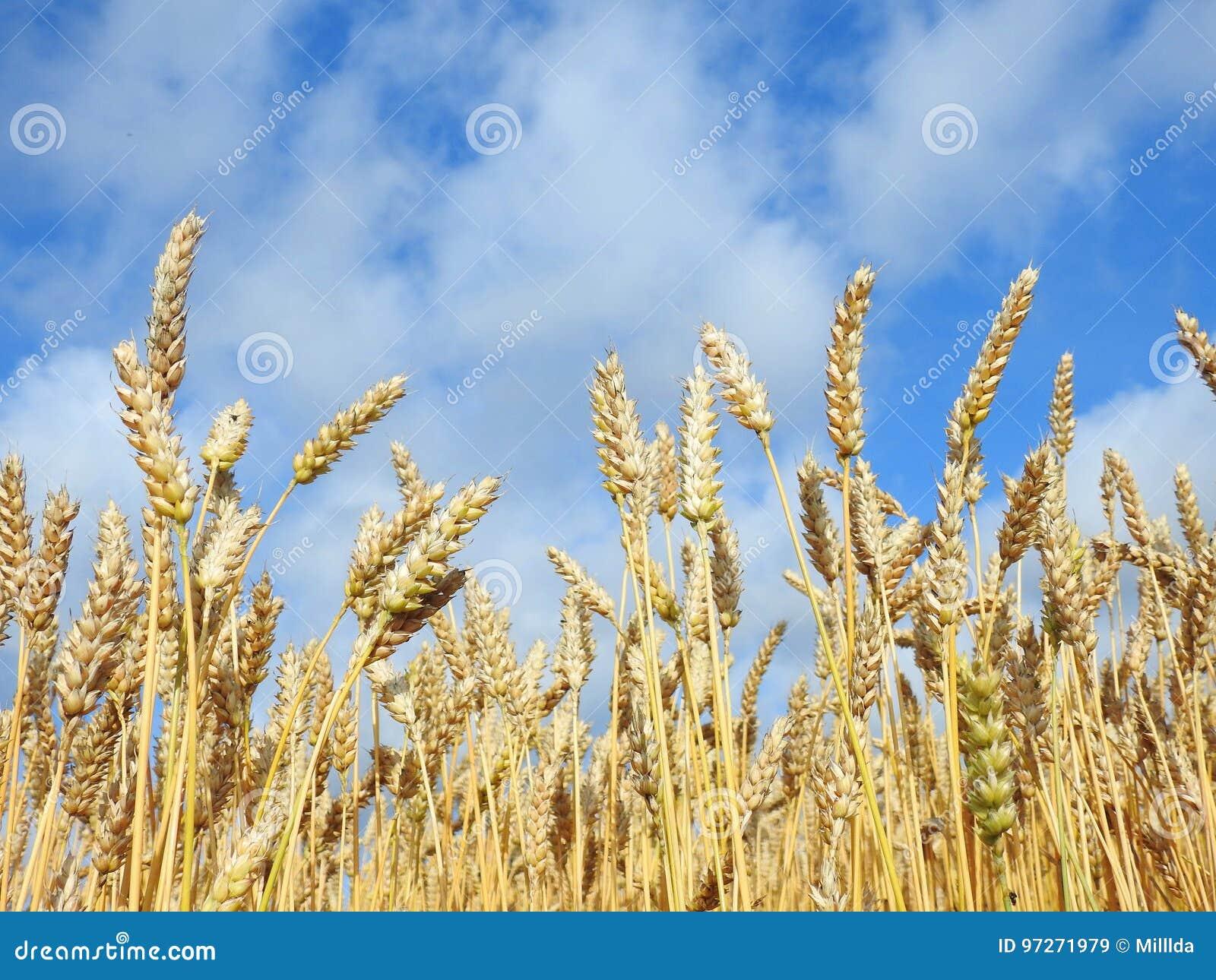 Le blé plante le champ