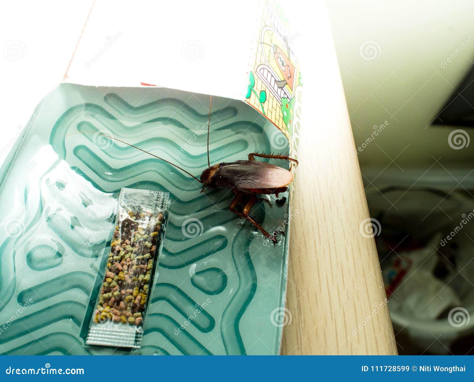 Le blatte hanno intrappolato le blatte bloccate bacini di sedimentazione nel kitche
