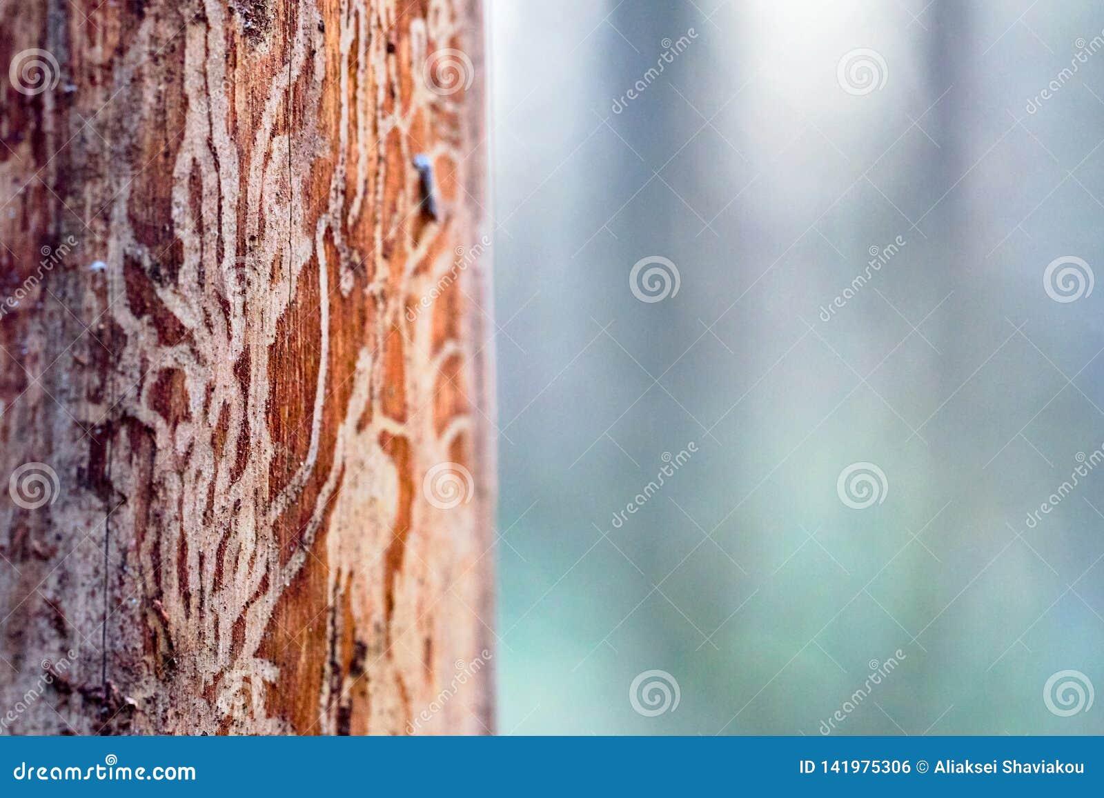 Le bois de pin érodé en trous de ver souffre de l infection de scarabée d écorce