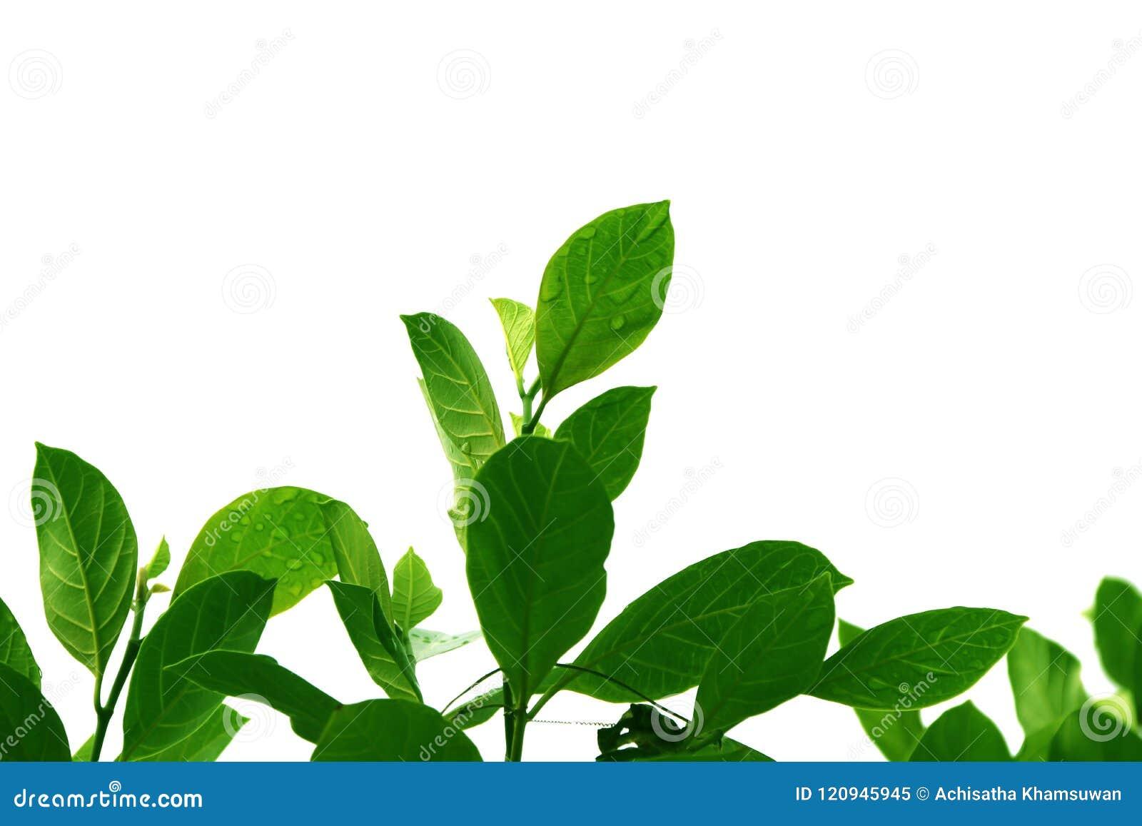 Le bois supérieur vert du jacquier part, forme d isolement sur le fond blanc