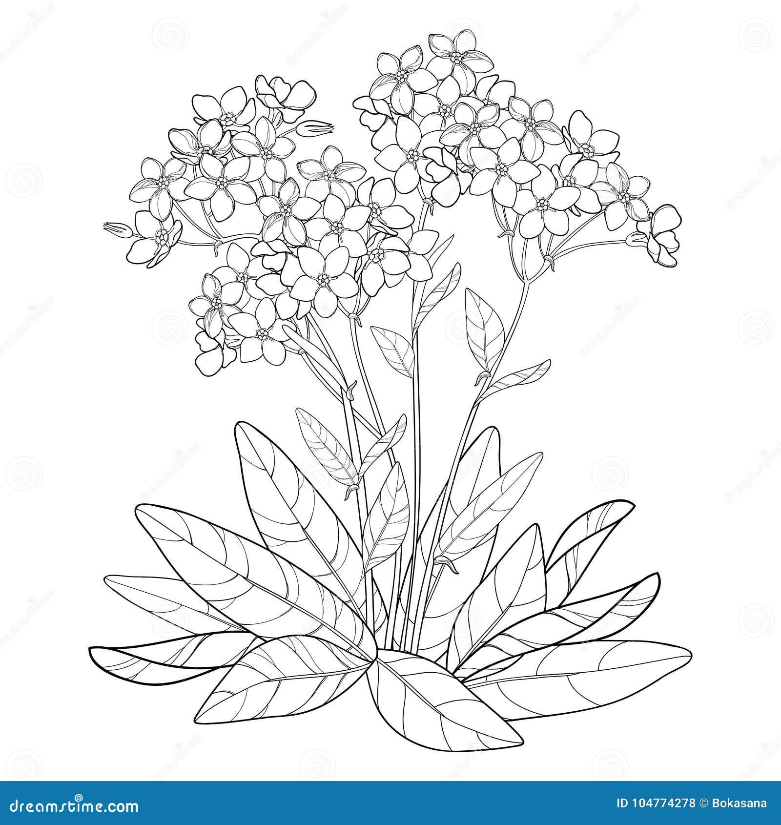 Coloriage Fleur Myosotis.Le Bouquet De Vecteur Avec Le Contour M Oublient Pas Ou Fleur De