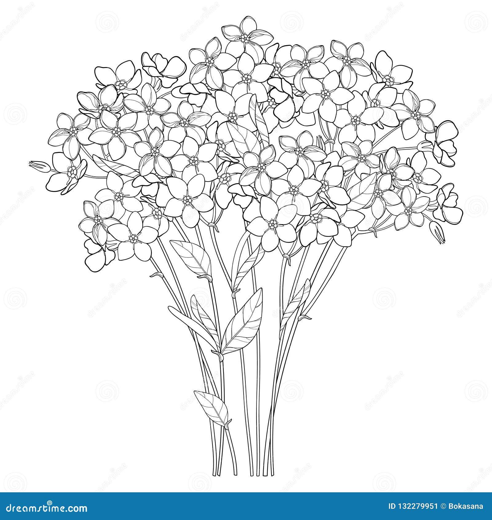 Coloriage Fleur Myosotis.Le Bouquet De Vecteur Avec Le Contour M Oublient Pas Ou Groupe De