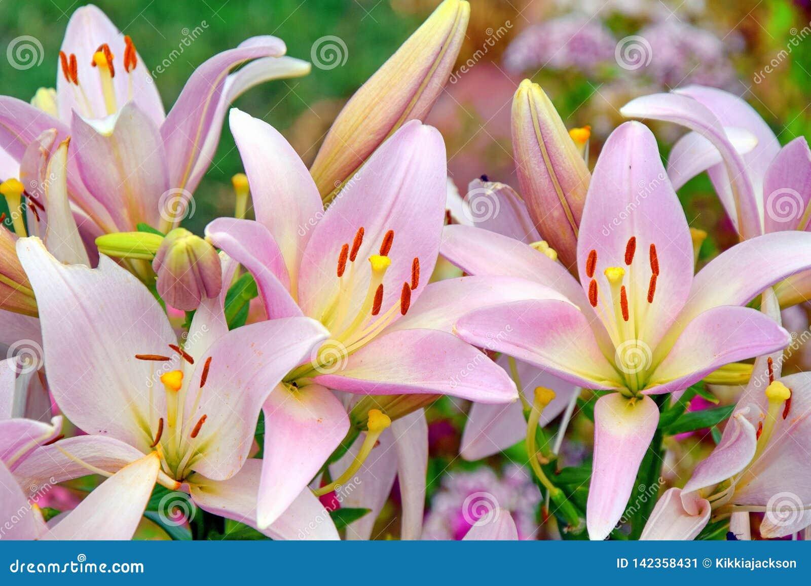 Le bouquet rose de Lillies fleurit la photo courante de fond de jour de mères des femmes florales