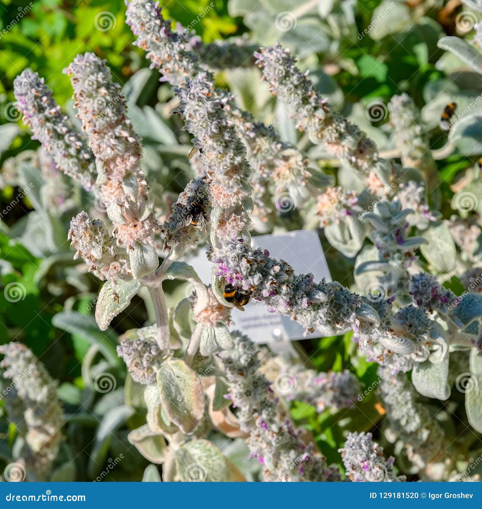 Le bourdon rassemblent le nectar des fleurs du Stachys de floraison
