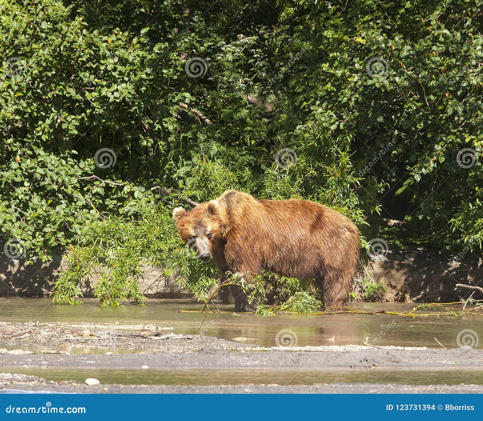 Le brun du Kamtchatka concernent le lac
