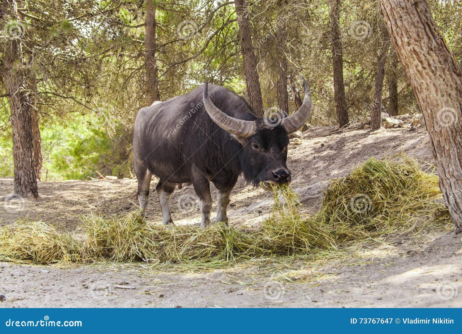 Le buffle indien