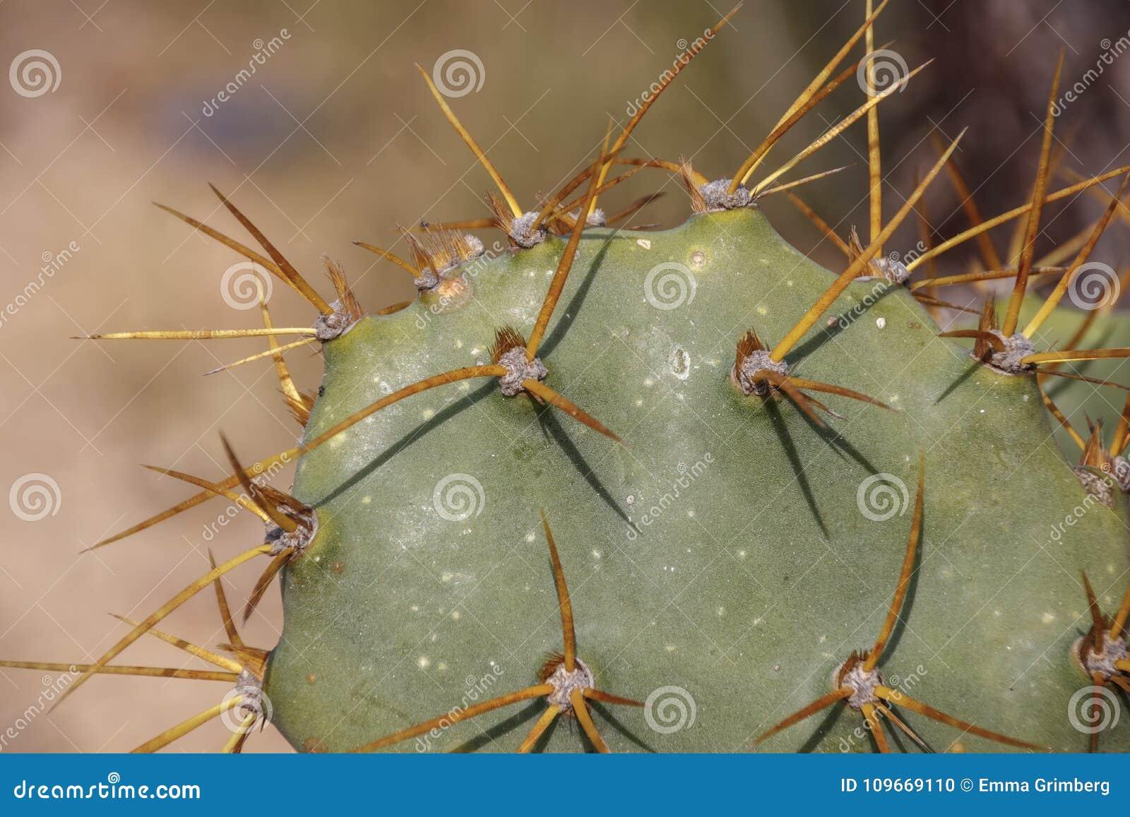 Le Cactus épineux Dopuntia Avec Des épines Se Ferment Vers Le Haut