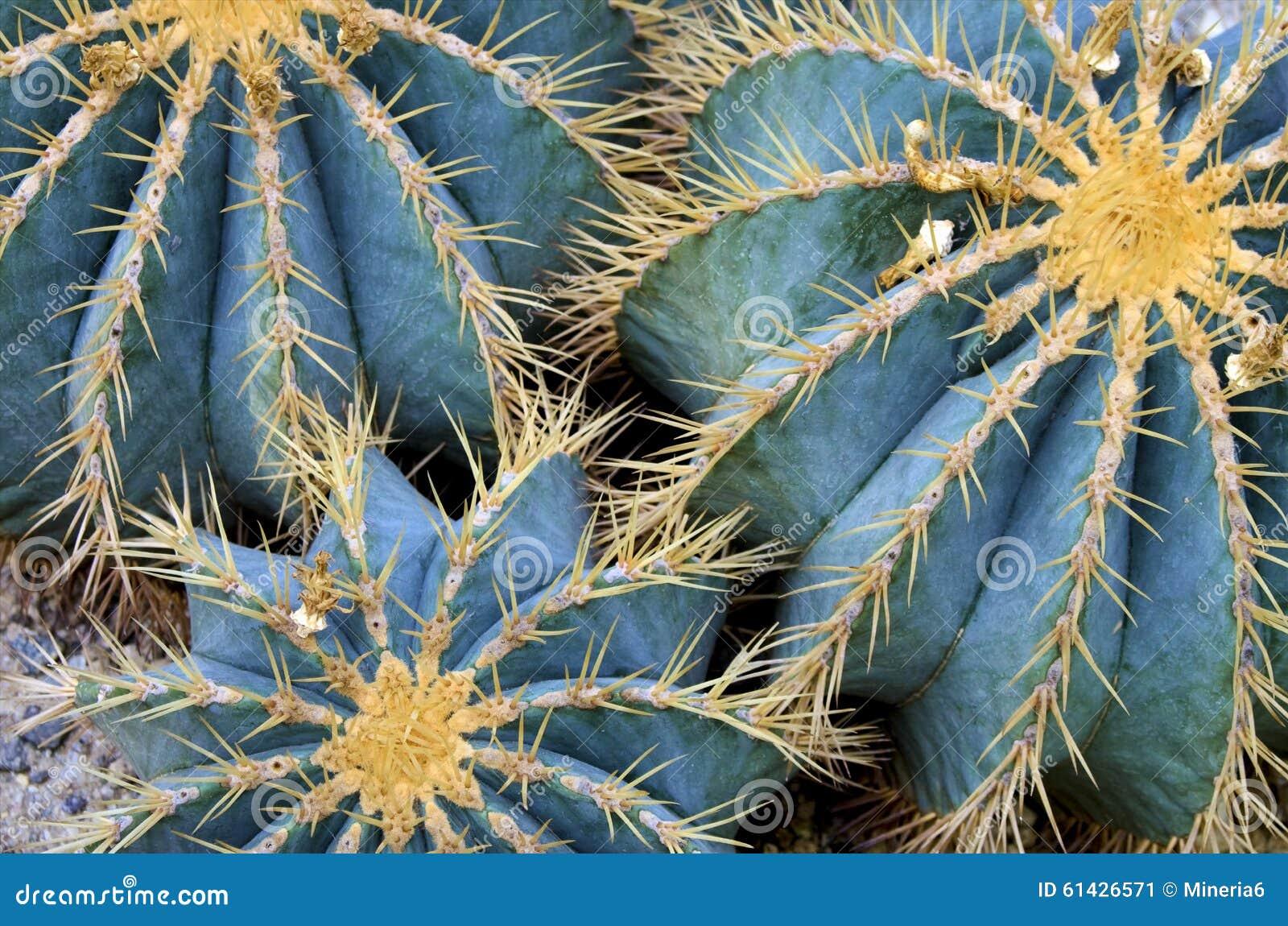 Le cactus de globe plante le plan rapproché