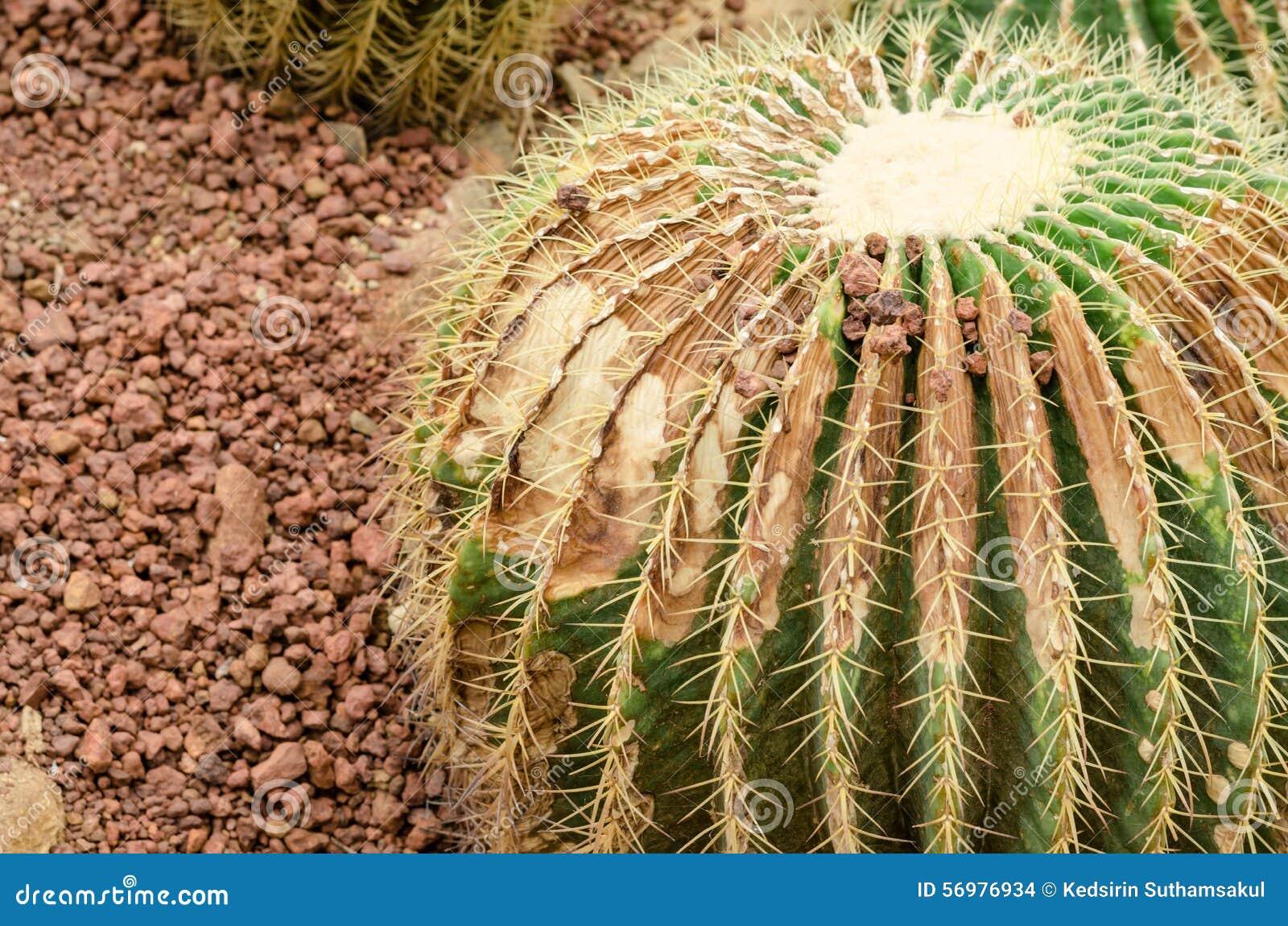le cactus est une maladie fongique cactus de rouille photo stock image 56976934. Black Bedroom Furniture Sets. Home Design Ideas