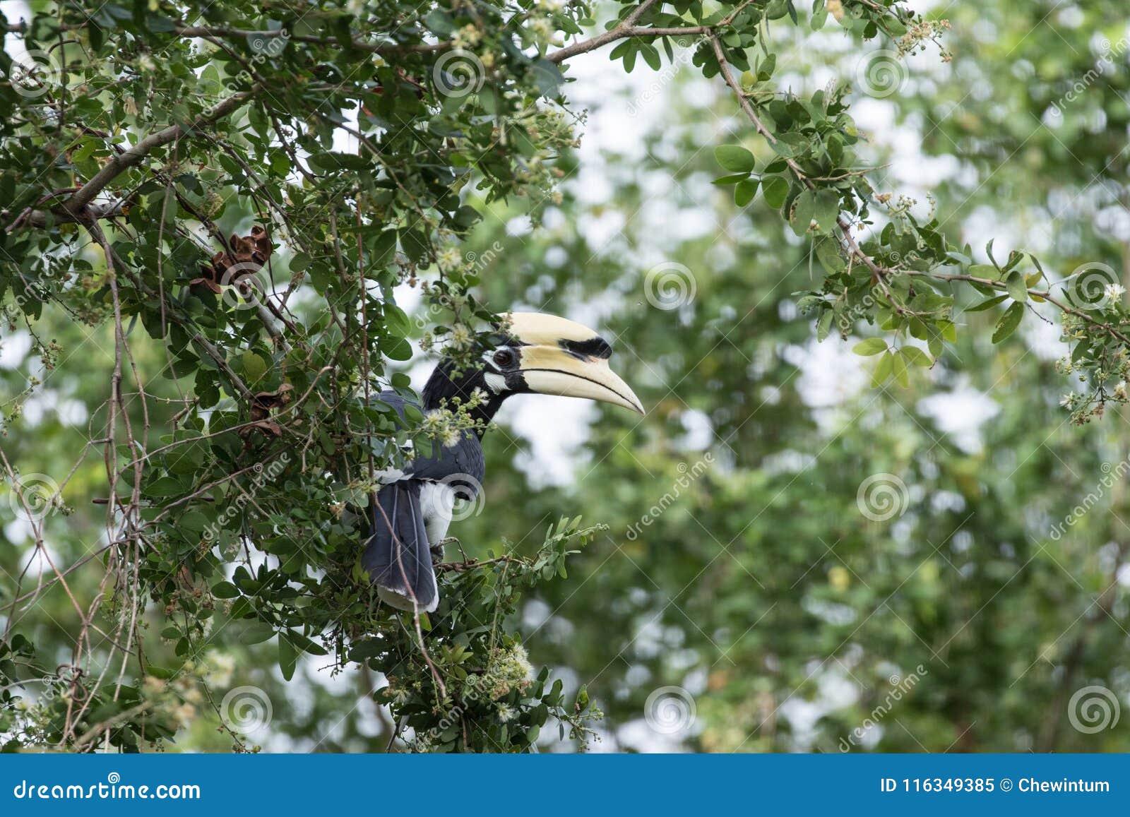 Le calao pie oriental est petit oiseau