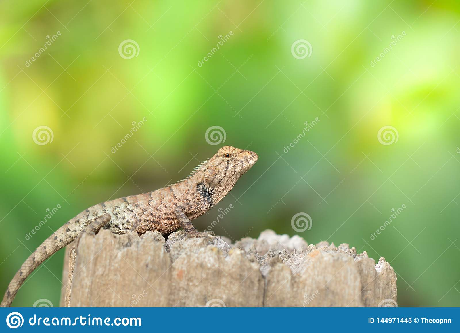 Le caméléon asiatique les prennent un bain de soleil sur le tronçon dans le matin