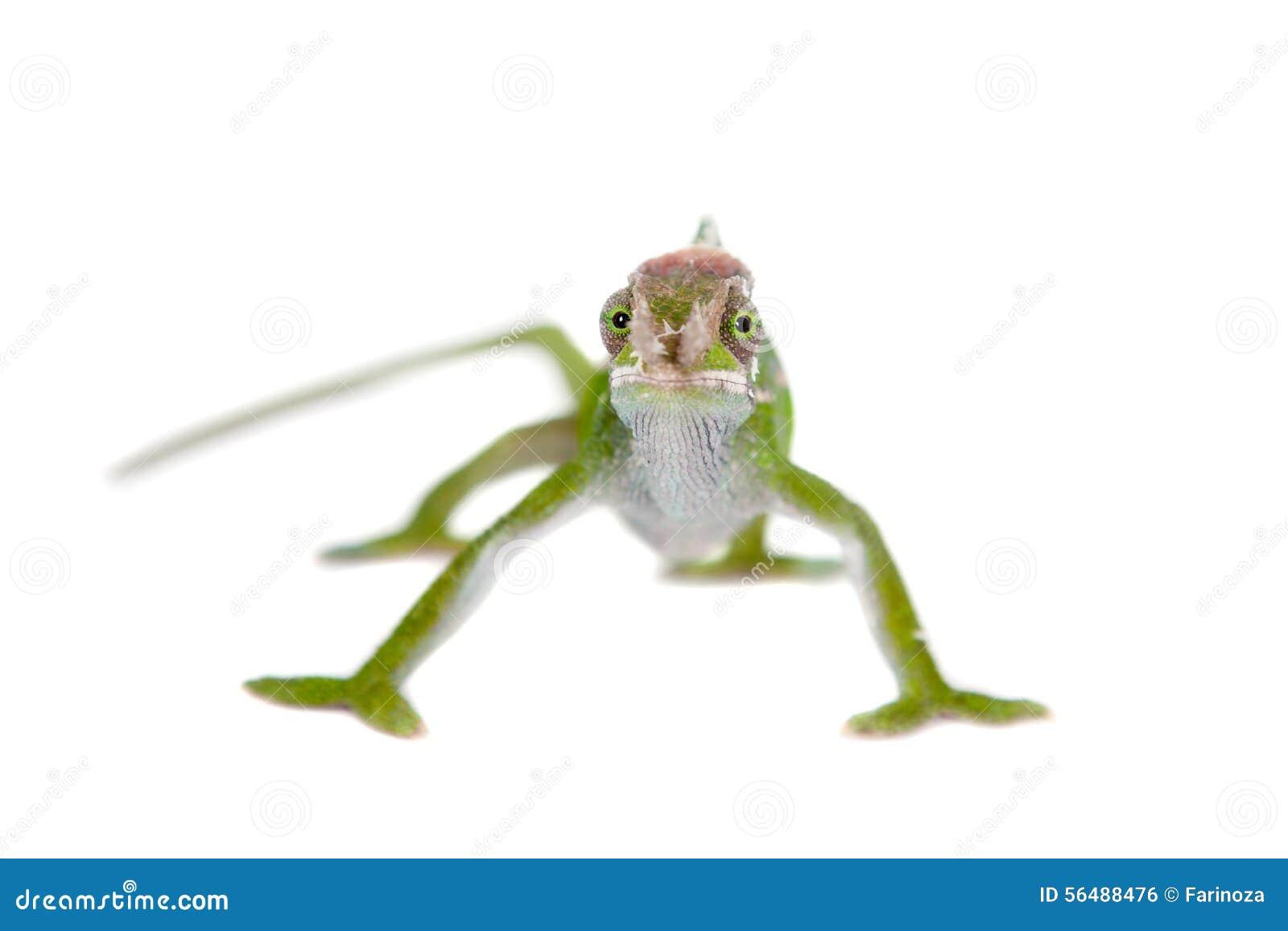 Le caméléon de Fischer, fischeri de Kinyongia sur le blanc
