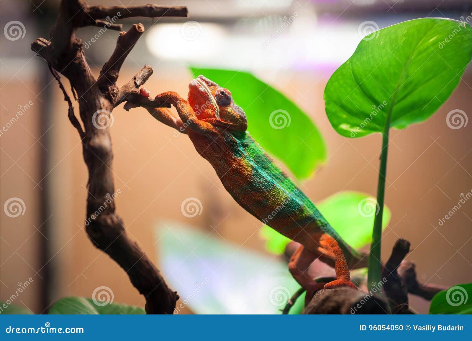 Le caméléon de panthère atteint pour une branche d arbre Zoo de St Petersburg, Russie