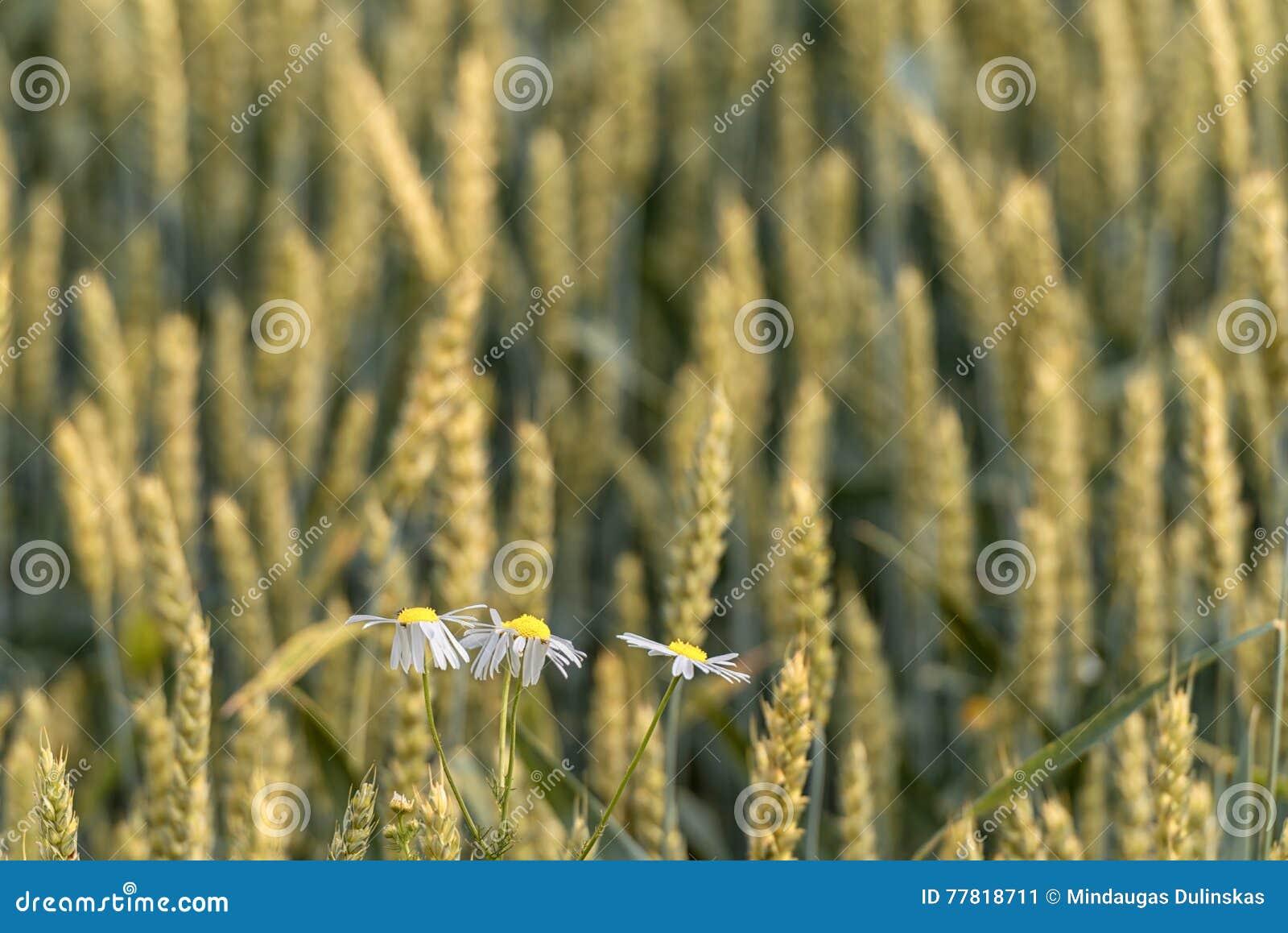 Le camomille nel campo di grano