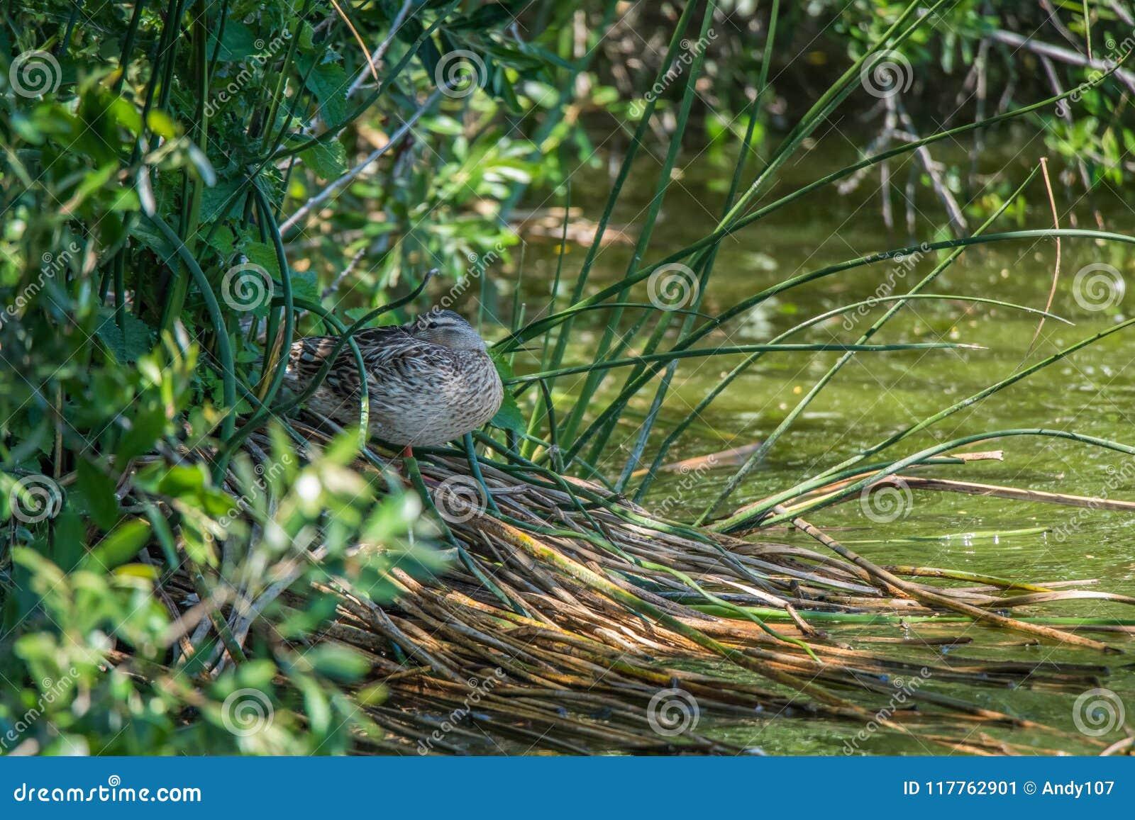 Le canard dormant sur des roseaux s approchent de l eau