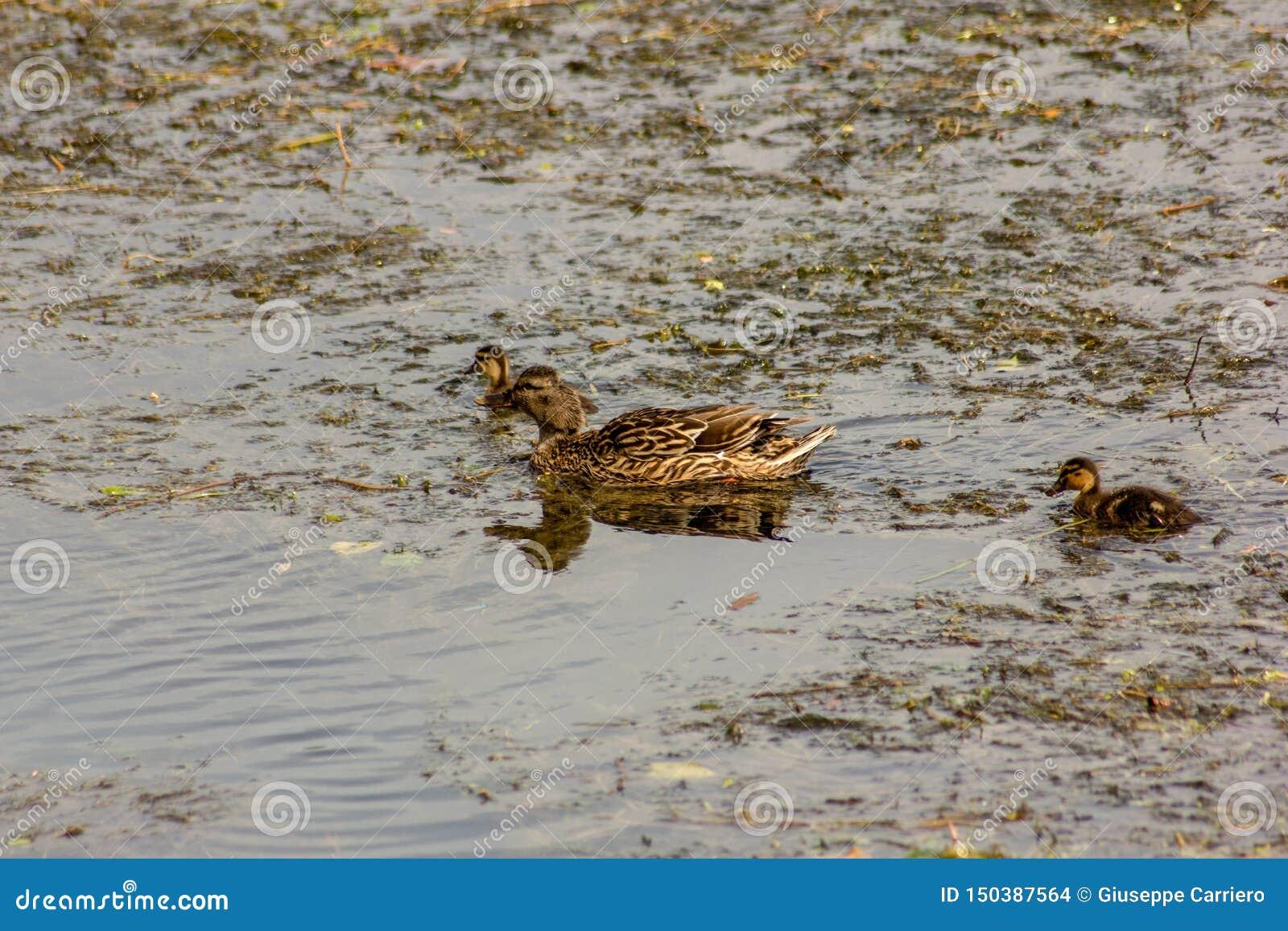 Le canard est le nom commun d un nombre important d oiseaux d anseriform, généralement migrateur, appartenant à la famille d Anat