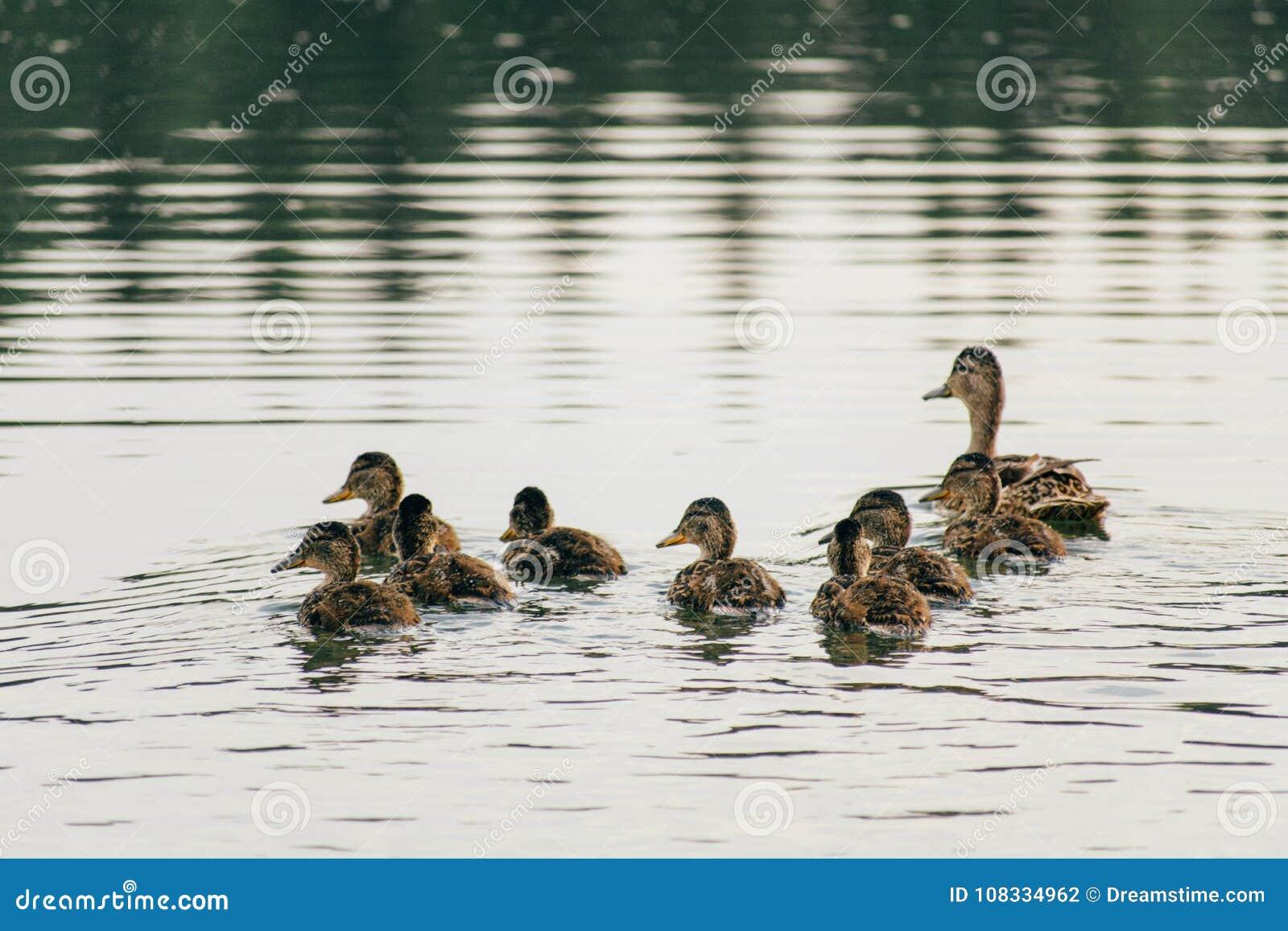 Le canard nage sur le lac avec des canetons dans une rangée