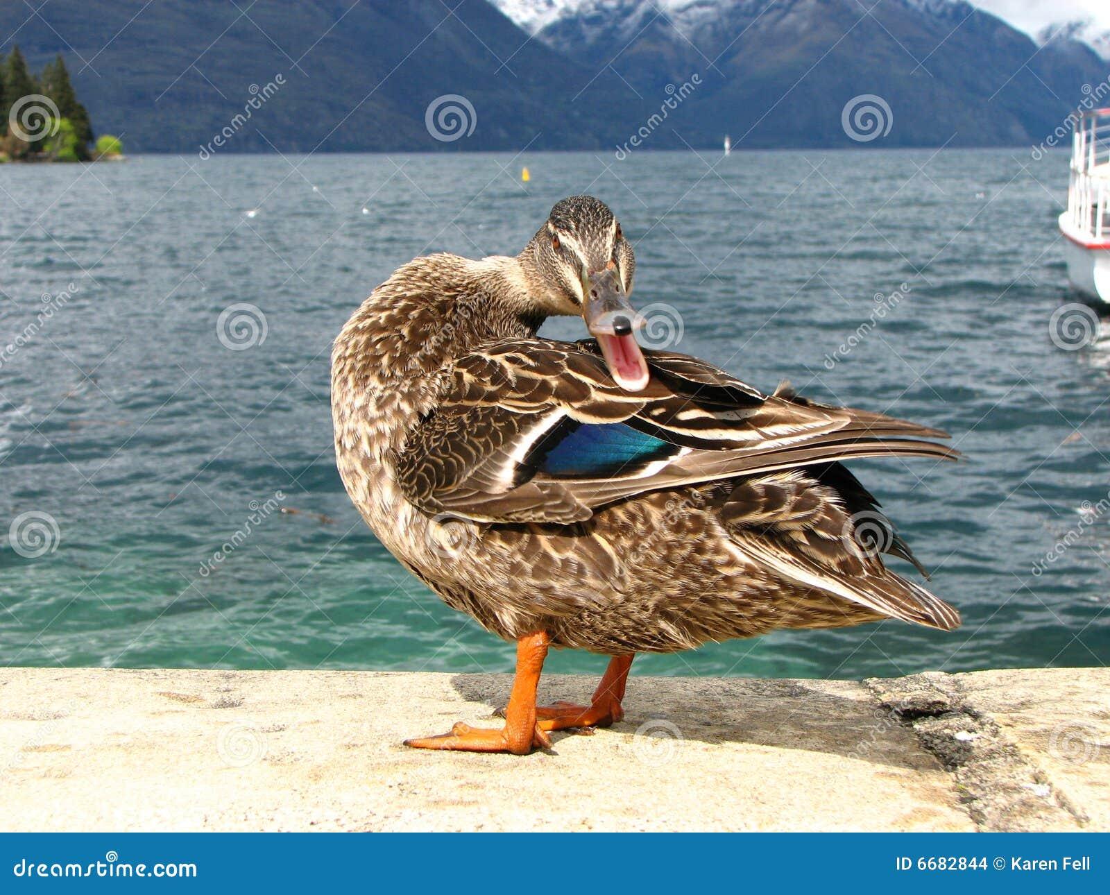 Le canard, ne viennent pas plus étroitement