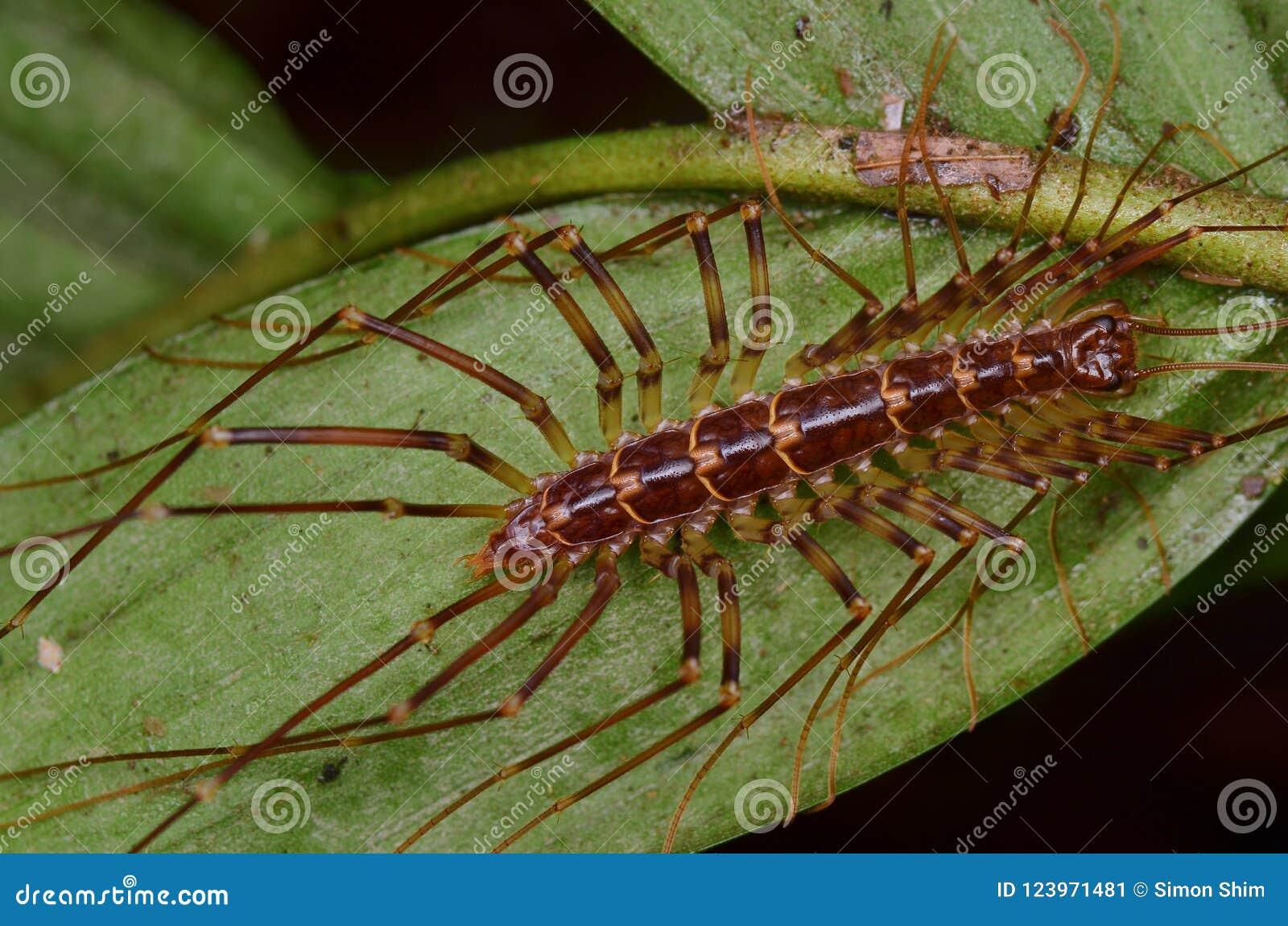 Le centipède de Chambre - coleoptrata de Scutigera