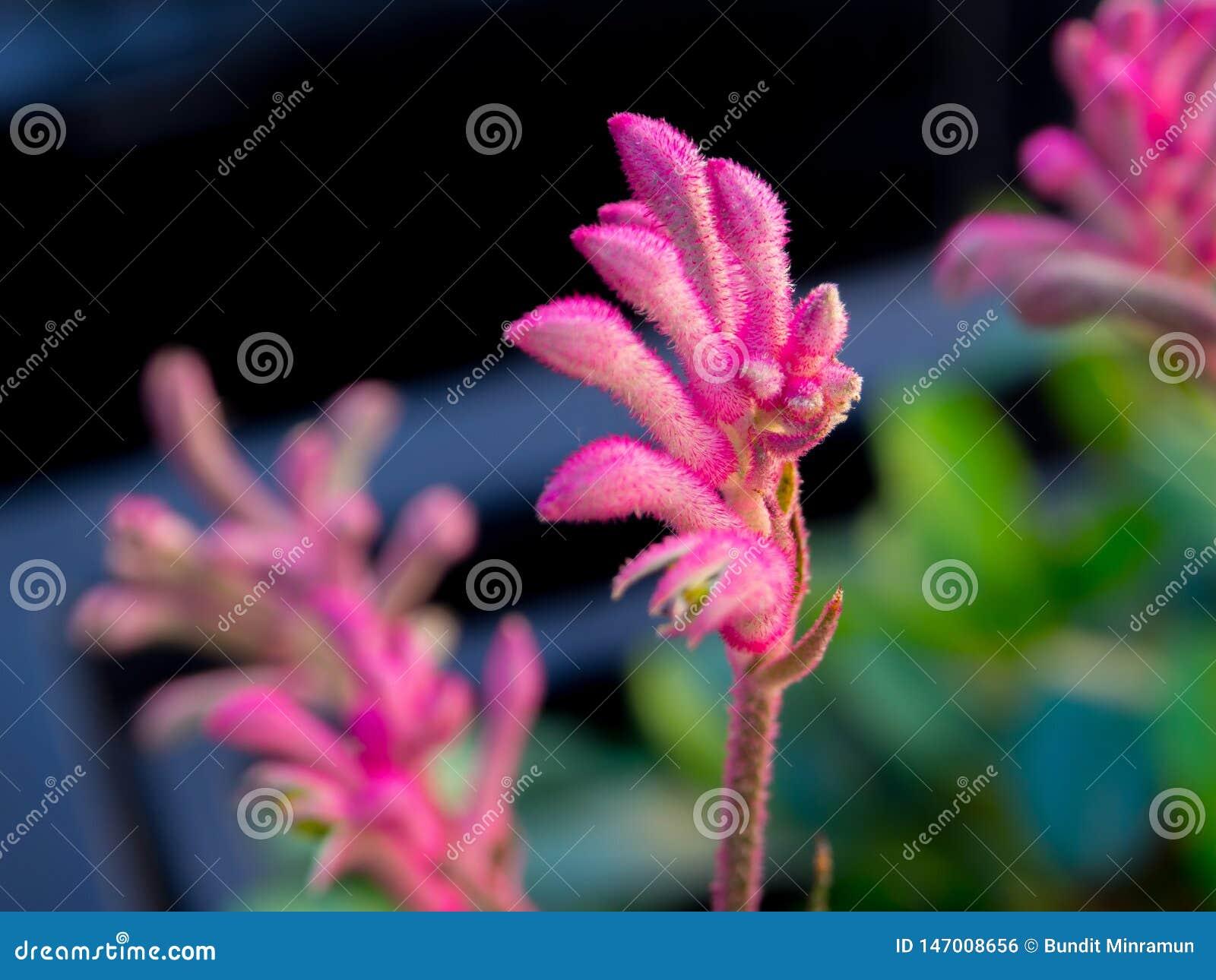 Le centre s?lectif du kangourou rose Paw Flowers appartiennent au genre Anigozanthos dans un printemps ? un jardin botanique