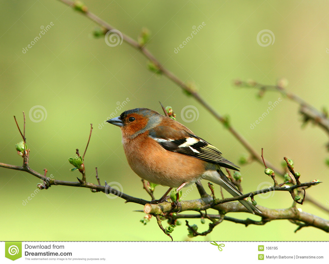 Le Chaffinch