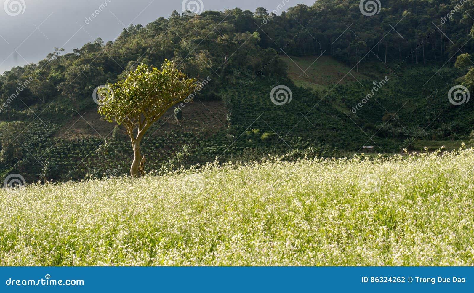 Le champ de moutarde avec la fleur blanche dans DonDuong - Dalat- Vietnam