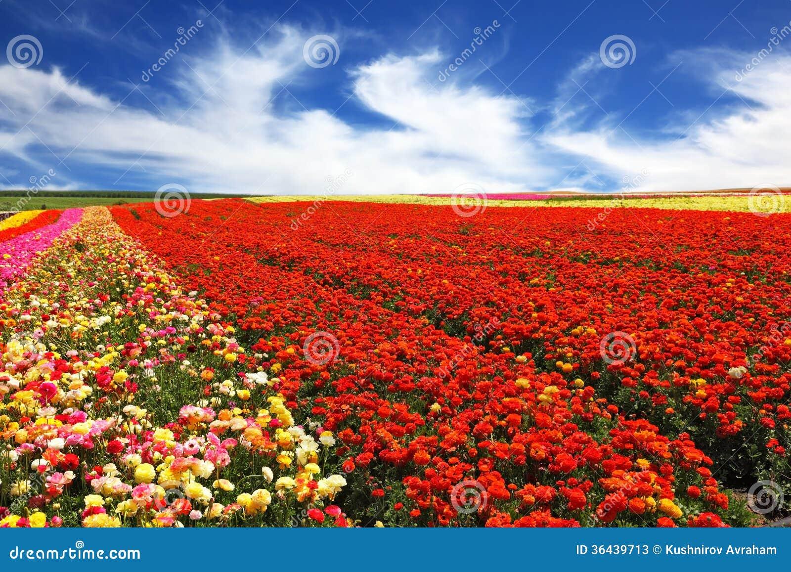 Le champ rural avec des renoncules de jardin image stock for Le jardin des fleurs