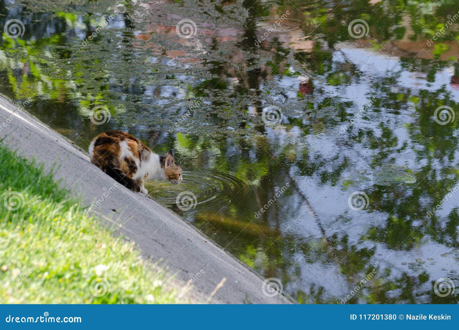 Le chat égaré assoiffé et lui boit l eau de The Creek