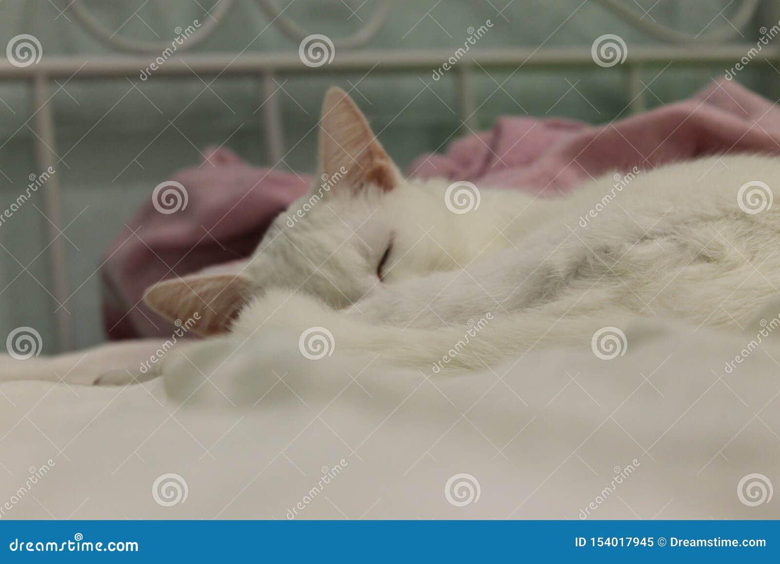 Le chat blanc mignon voit des rêves merveilleux