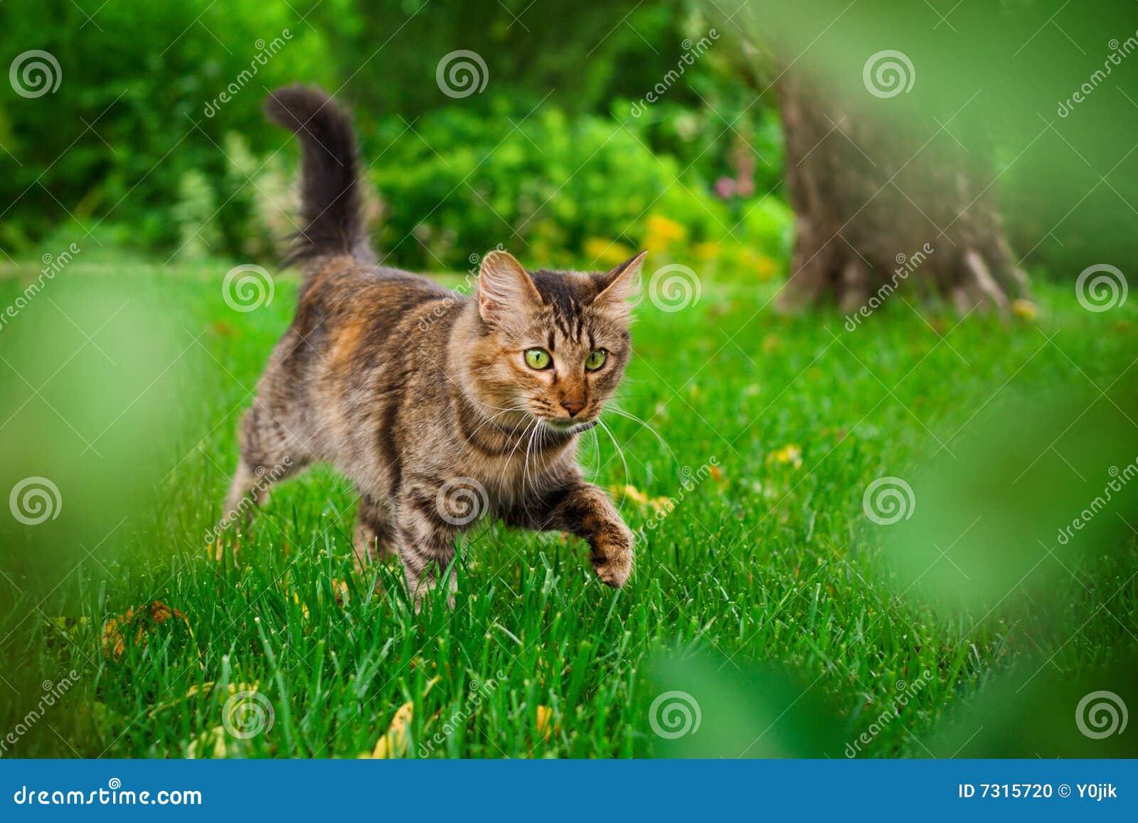 le chat chasse dans l 39 herbe verte photo stock image 7315720. Black Bedroom Furniture Sets. Home Design Ideas