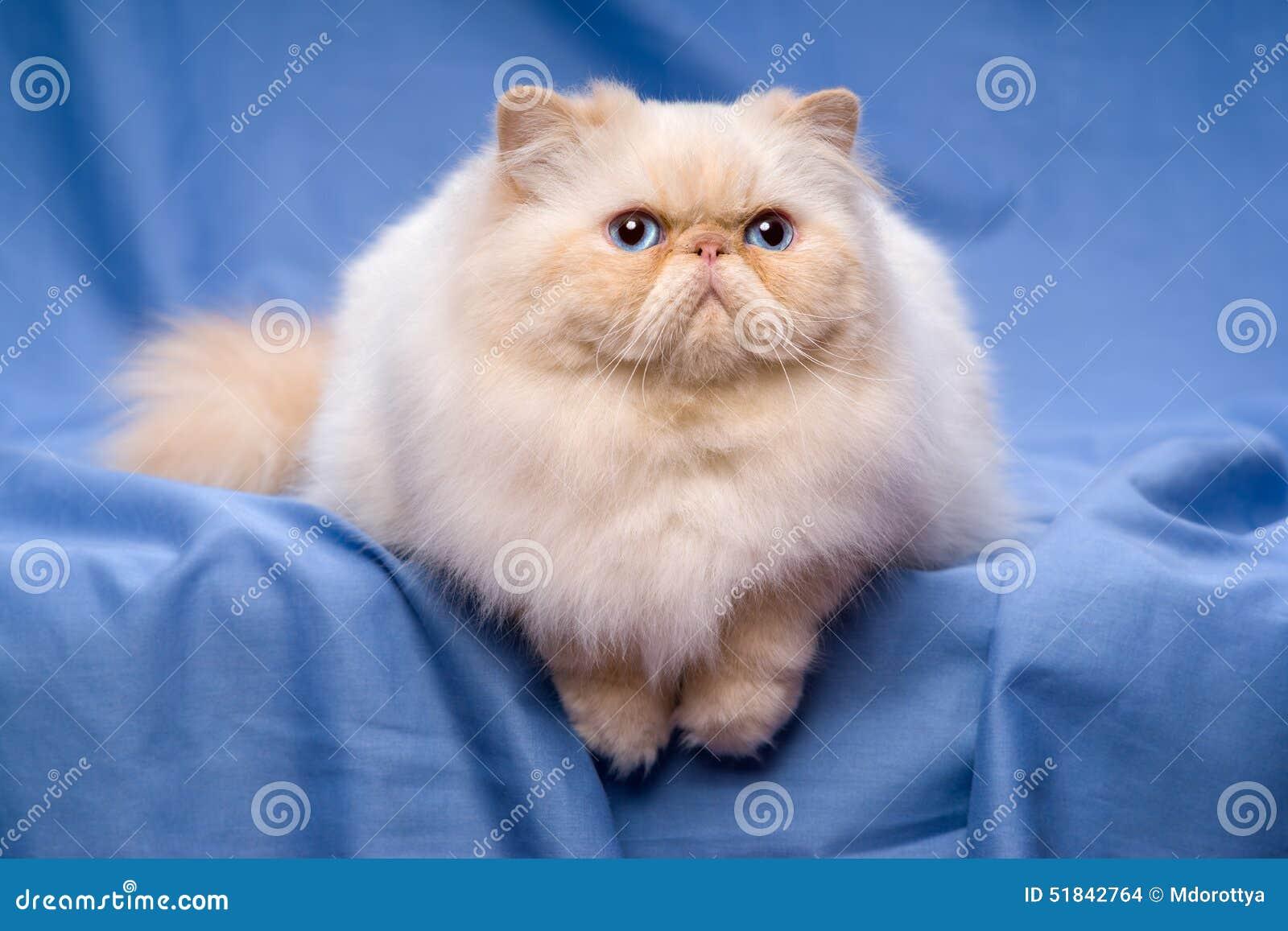 Le chat cr me persan mignon de colorpoint se trouve sur un for Cuanto cuesta una alfombra persa