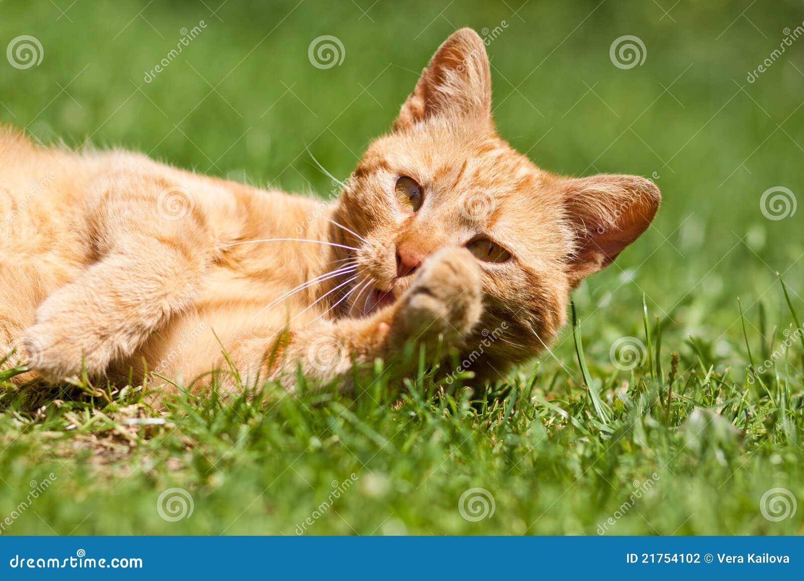 Le chat de gingembre