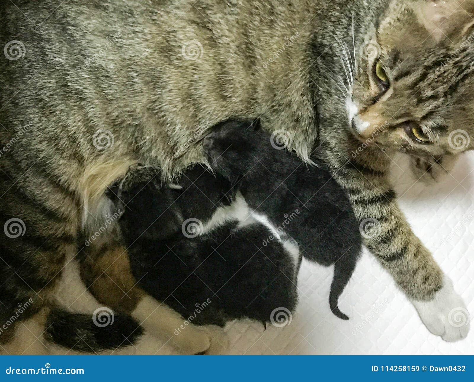 Le chat de mère a alimenté les trois chatons