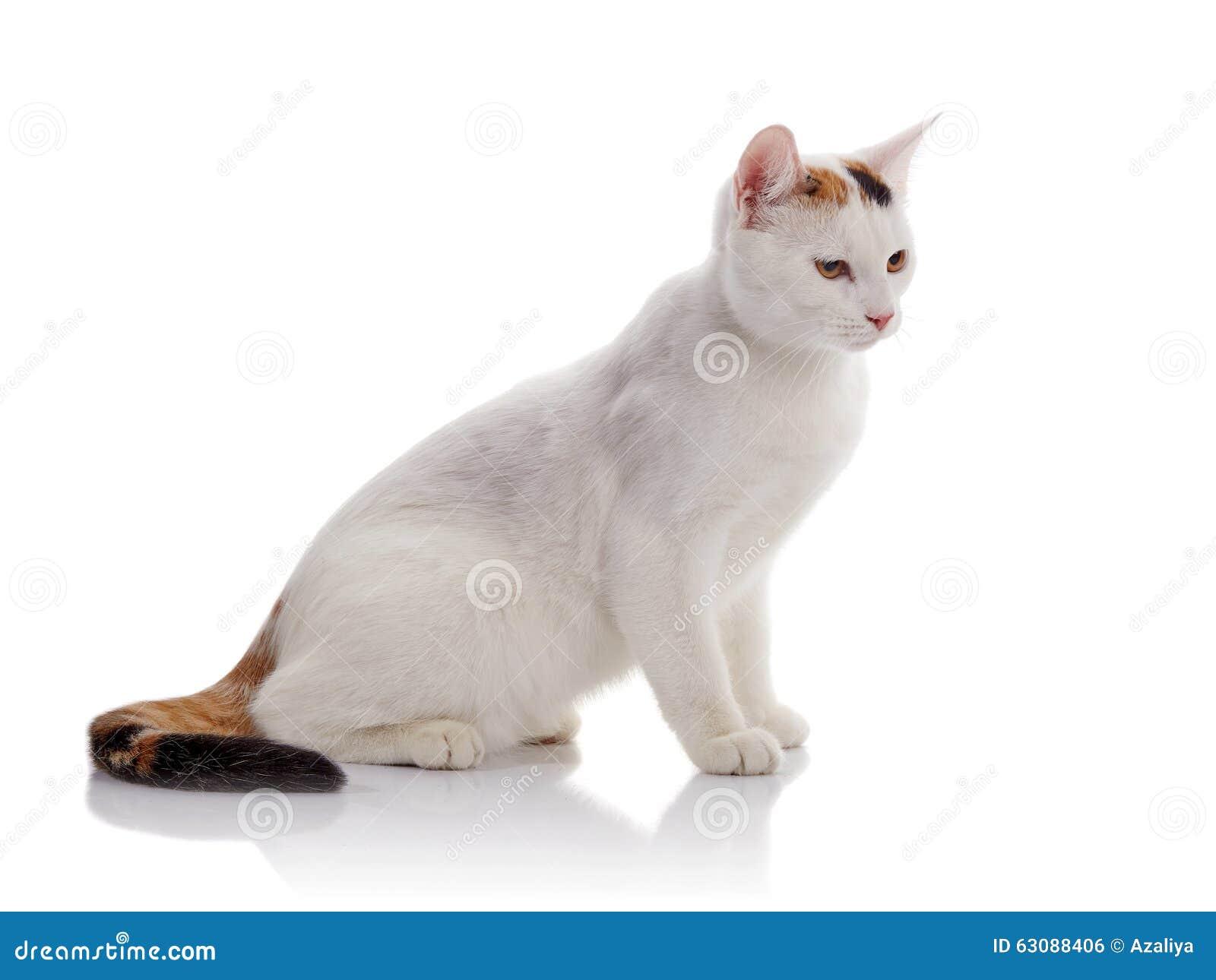Download Le Chat Domestique Blanc Avec Une Queue Multicolore Photo stock - Image du arrière, beau: 63088406