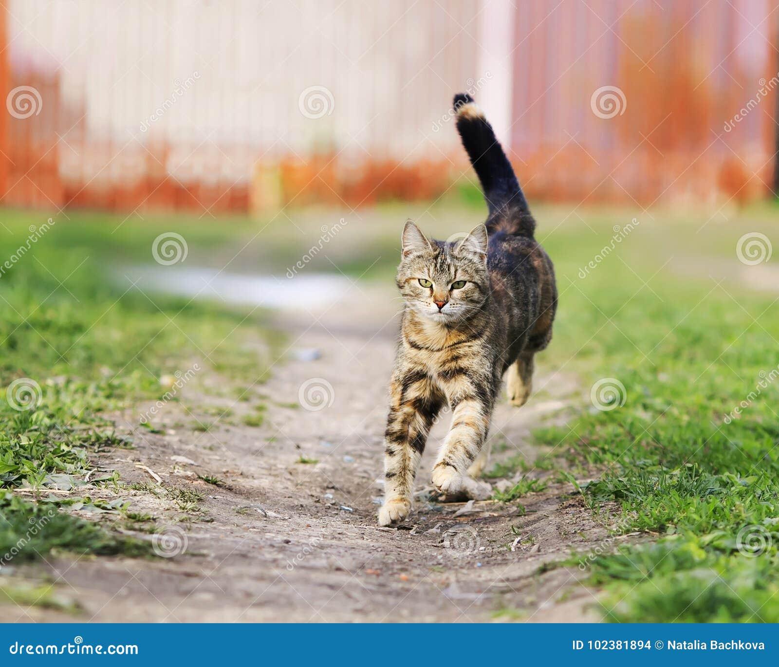 Le chat drôle rayé court rapidement en bas du chemin un pré vert dans s