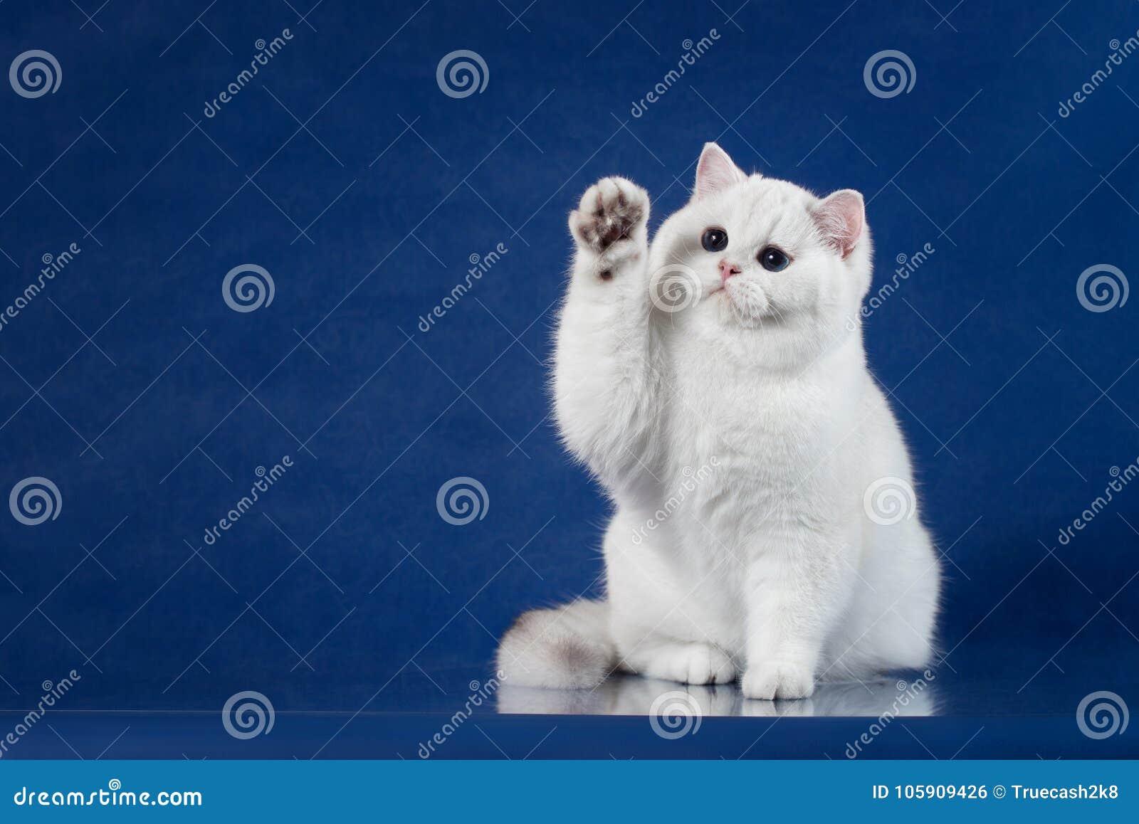 Le Chat Espiègle De Shorthair Blanc Britannique Avec Les