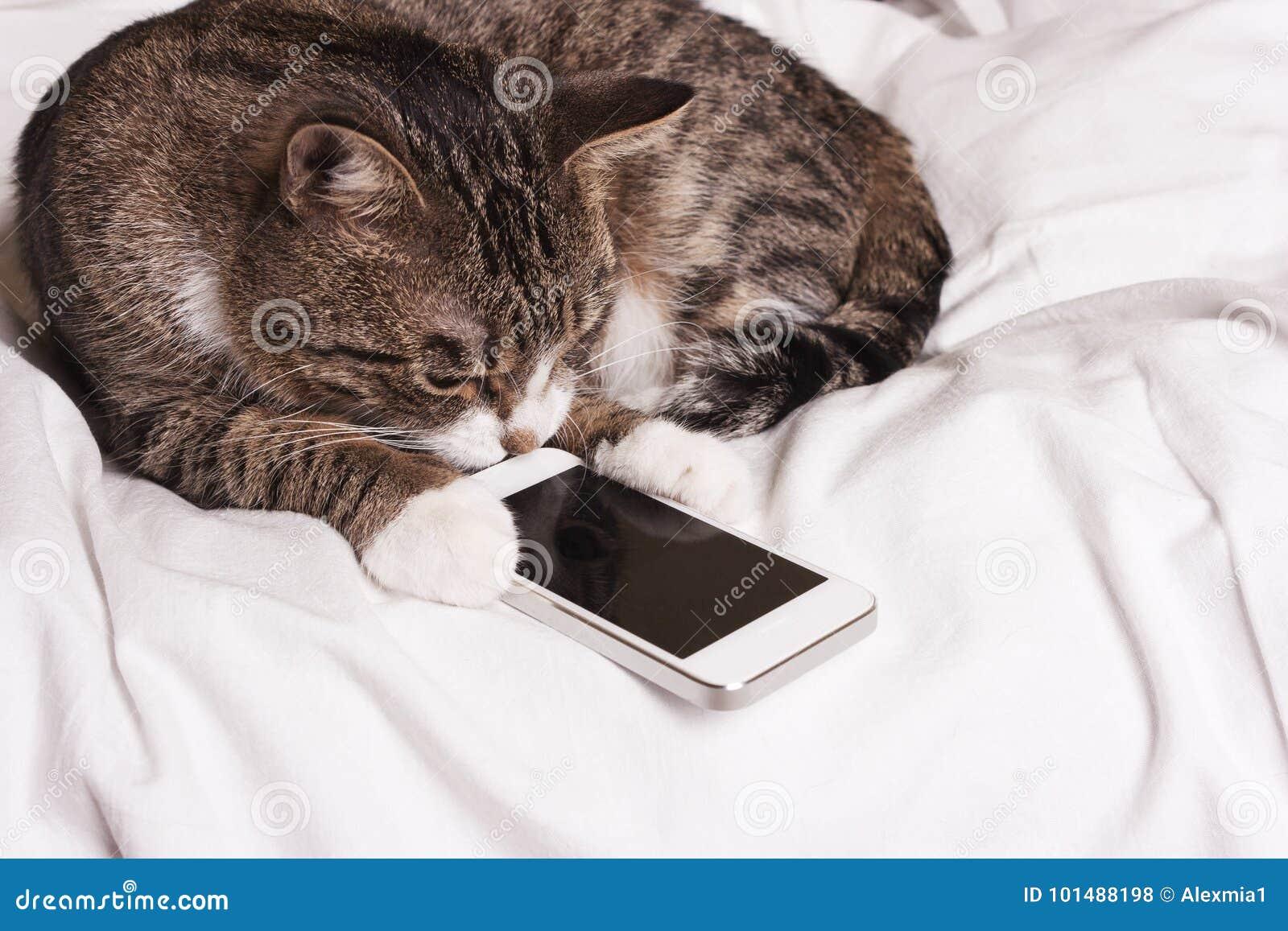 Le chat examine le téléphone