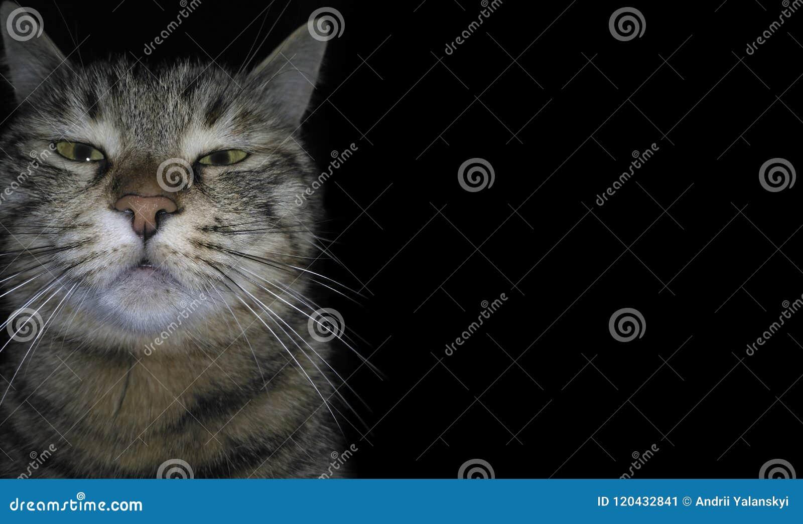 Le chat fâché domestique casse le quatrième mur et regarde la visionneuse, sur un fond noir Un chaton somnolent sombre Museau drô