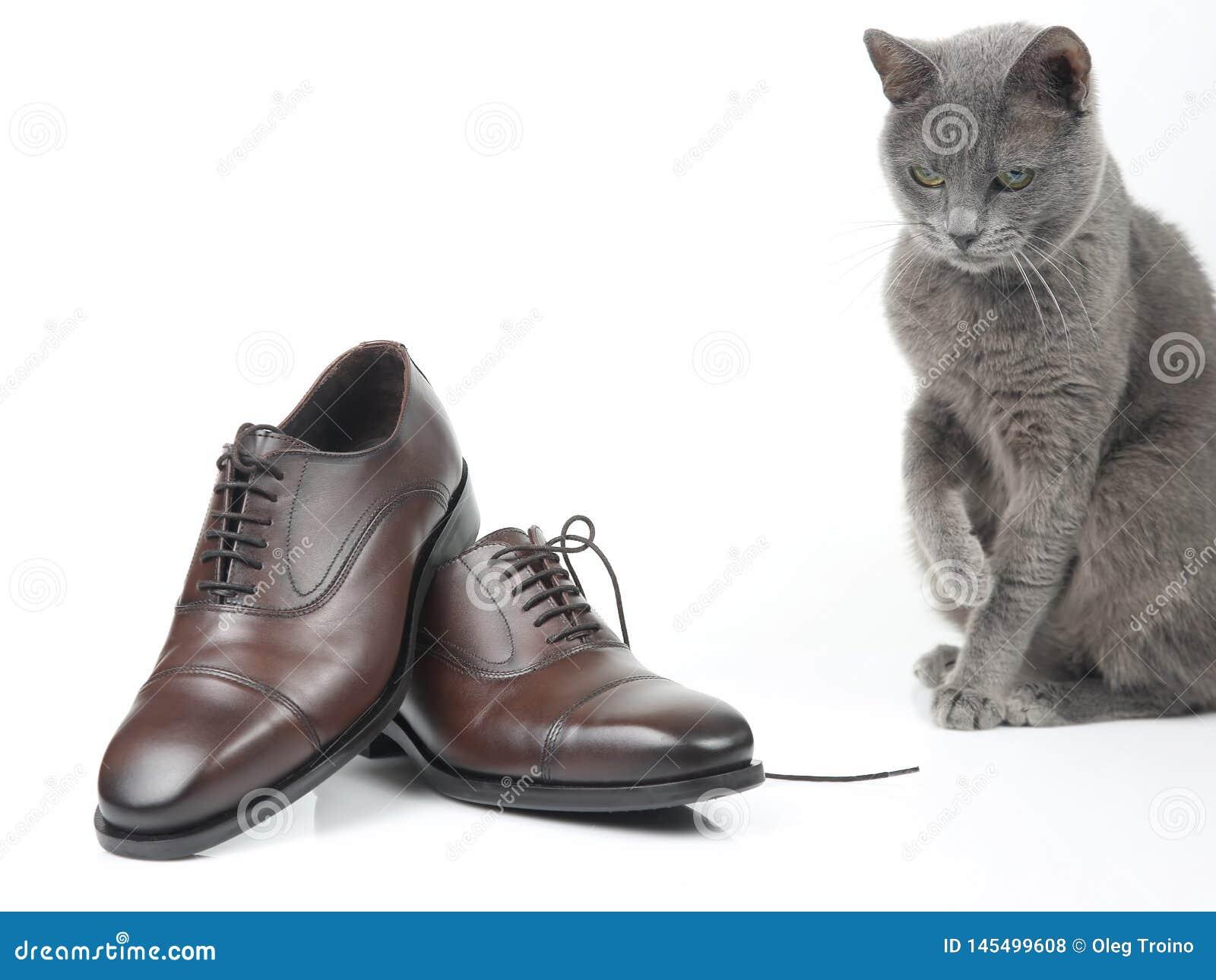 Le chat gris joue avec une chaussure brune d hommes classiques de dentelle sur le fond blanc